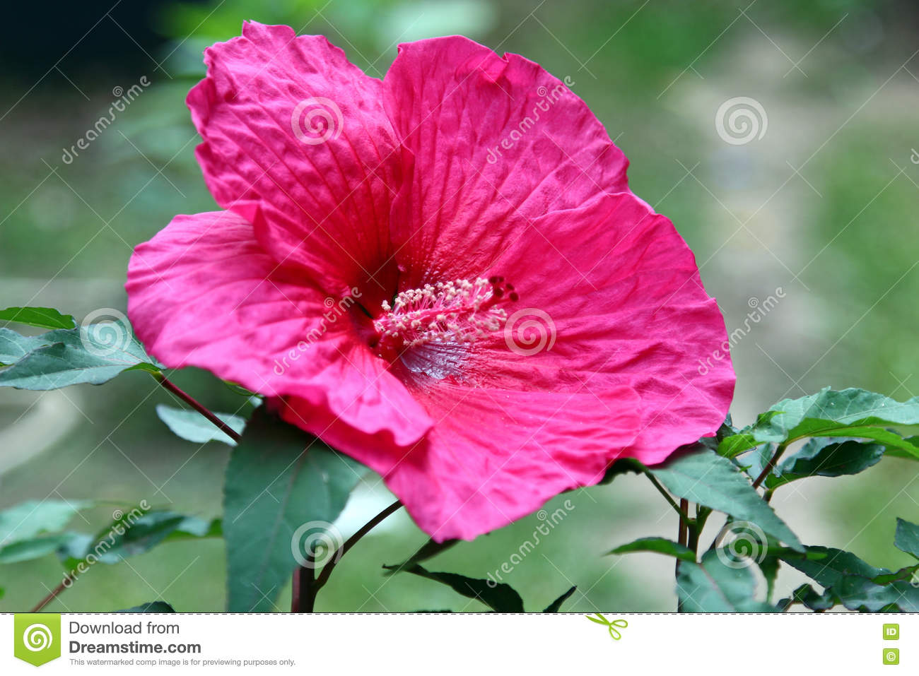 Magenta hibiscus flower stock photo image 77113414 flower hibiscus dhlflorist Image collections
