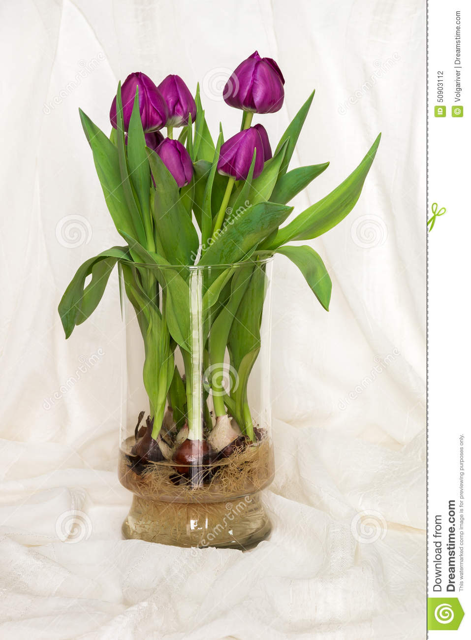 Magenta Tulips Growing In Water In A Glass Vase Bulbs