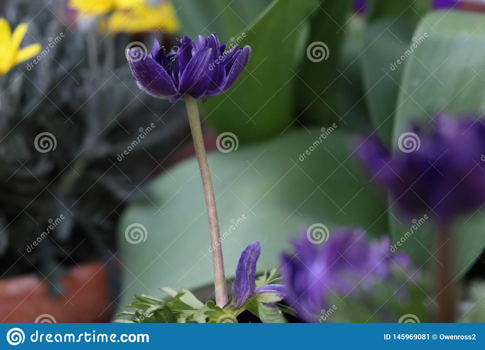 Magenta / Violet flower with a blurred background