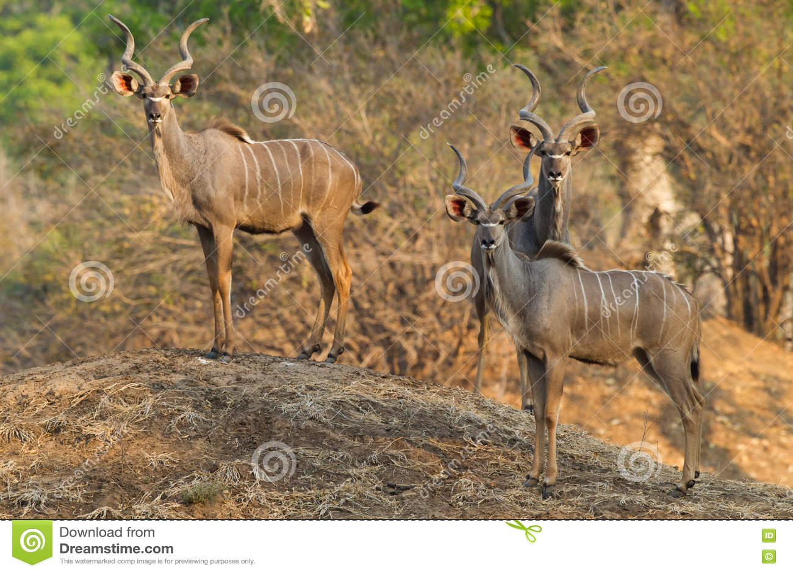Maggiori tori di Kudu che stanno sul monticello della termite