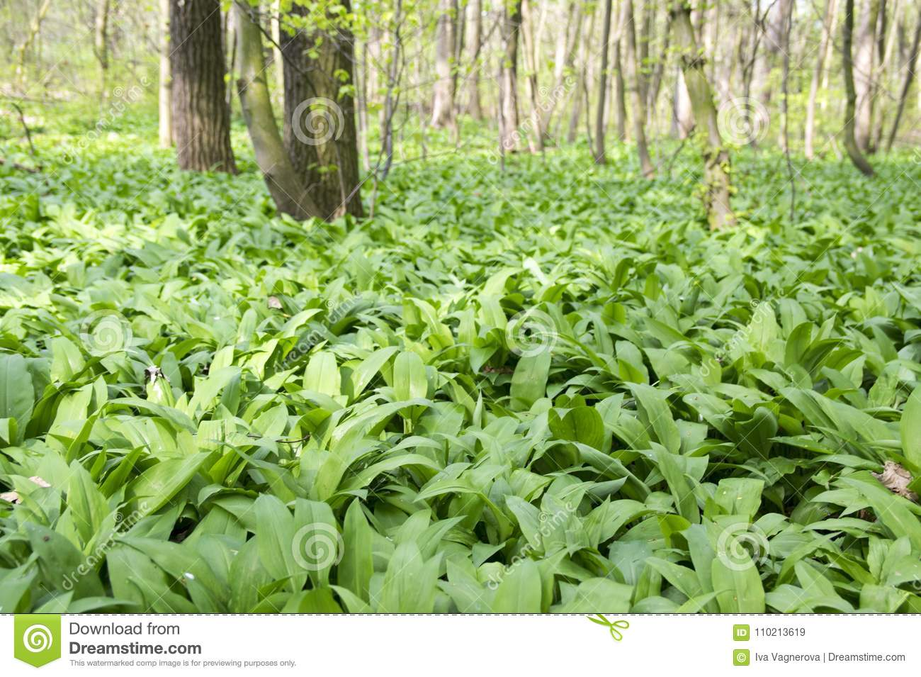 Magic nature place full of wild bear garlic, green leaves background