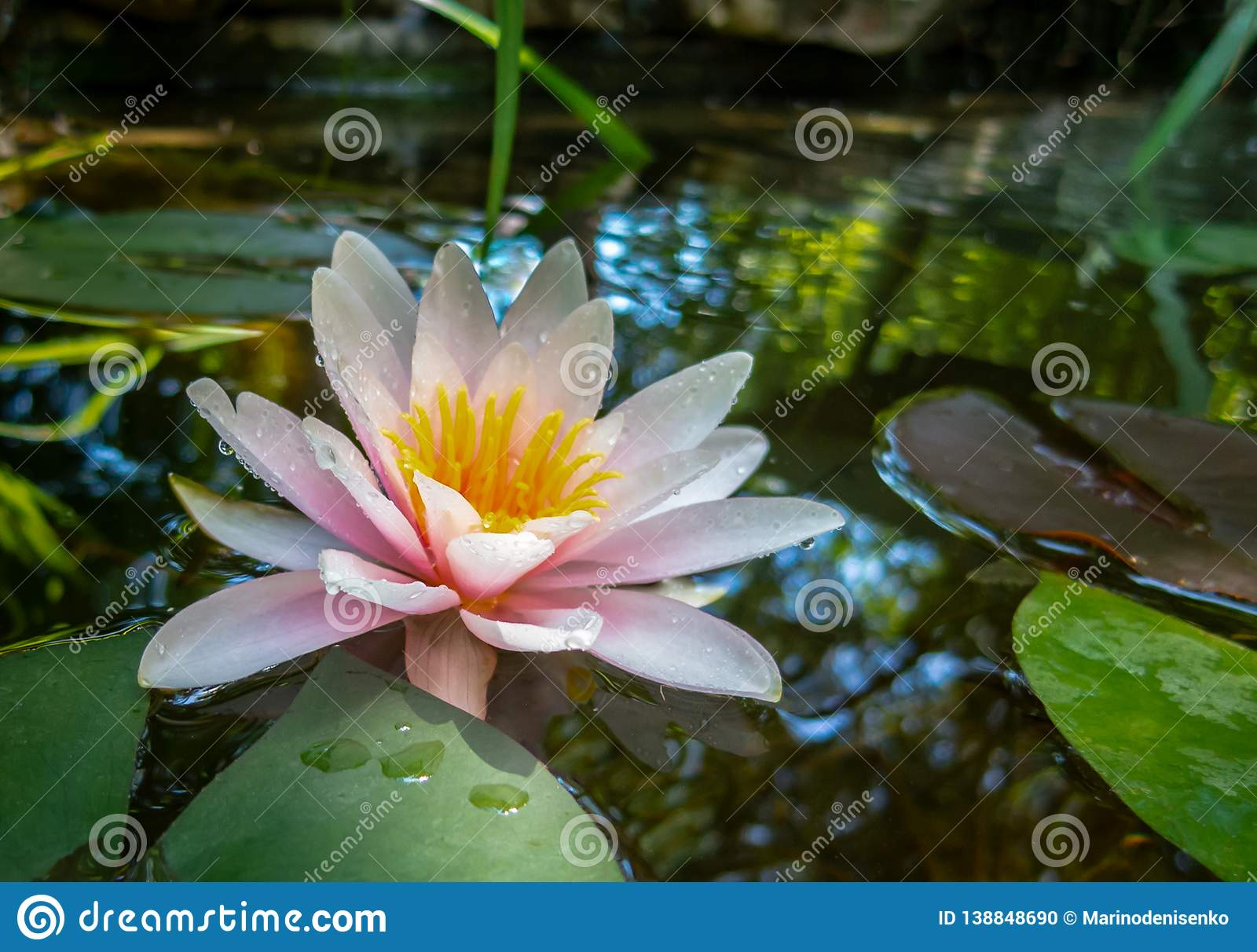 Magic Pink Water Lily Or Lotus Flower Marliacea Rosea With Delicate