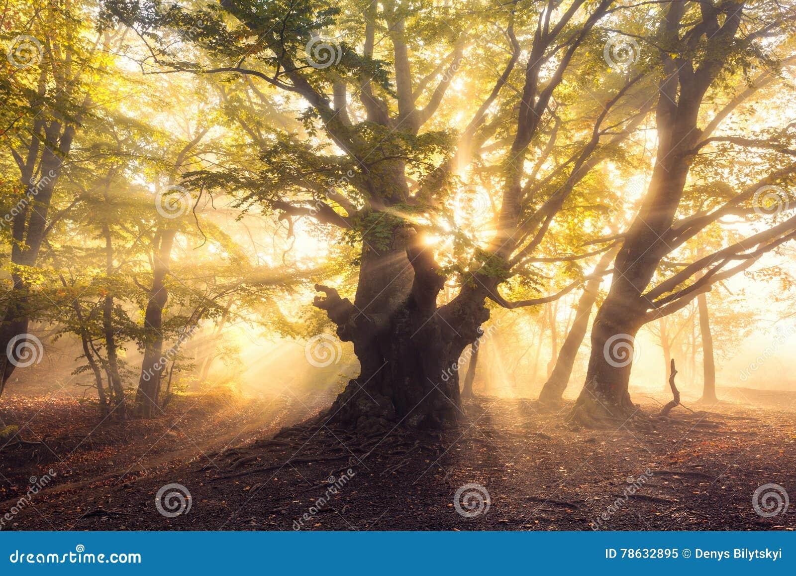 Magiczny stary drzewo z słońce promieniami przy wschodu słońca Mgłowym lasem