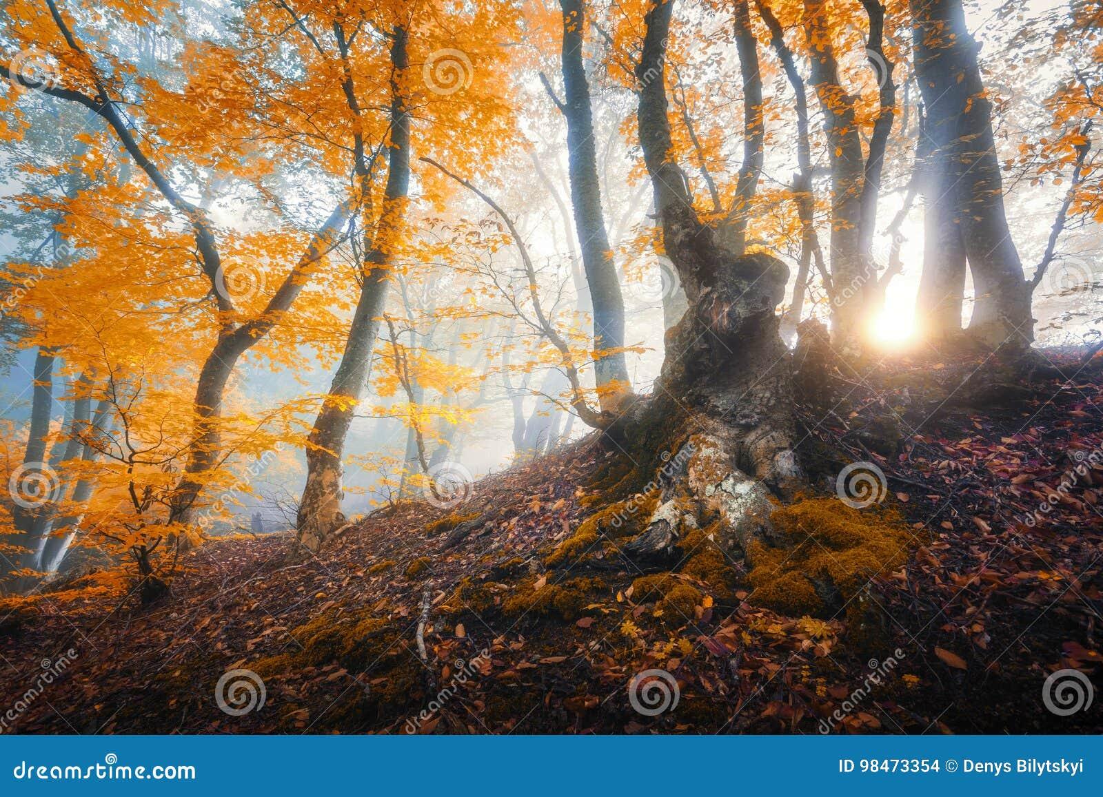 Magiczny stary drzewo z słońce promieniami w ranku Zadziwiający las wewnątrz