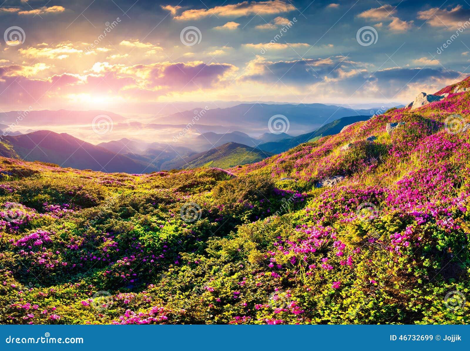 Magische roze rododendronbloemen in bergen De zonsopgang van de zomer