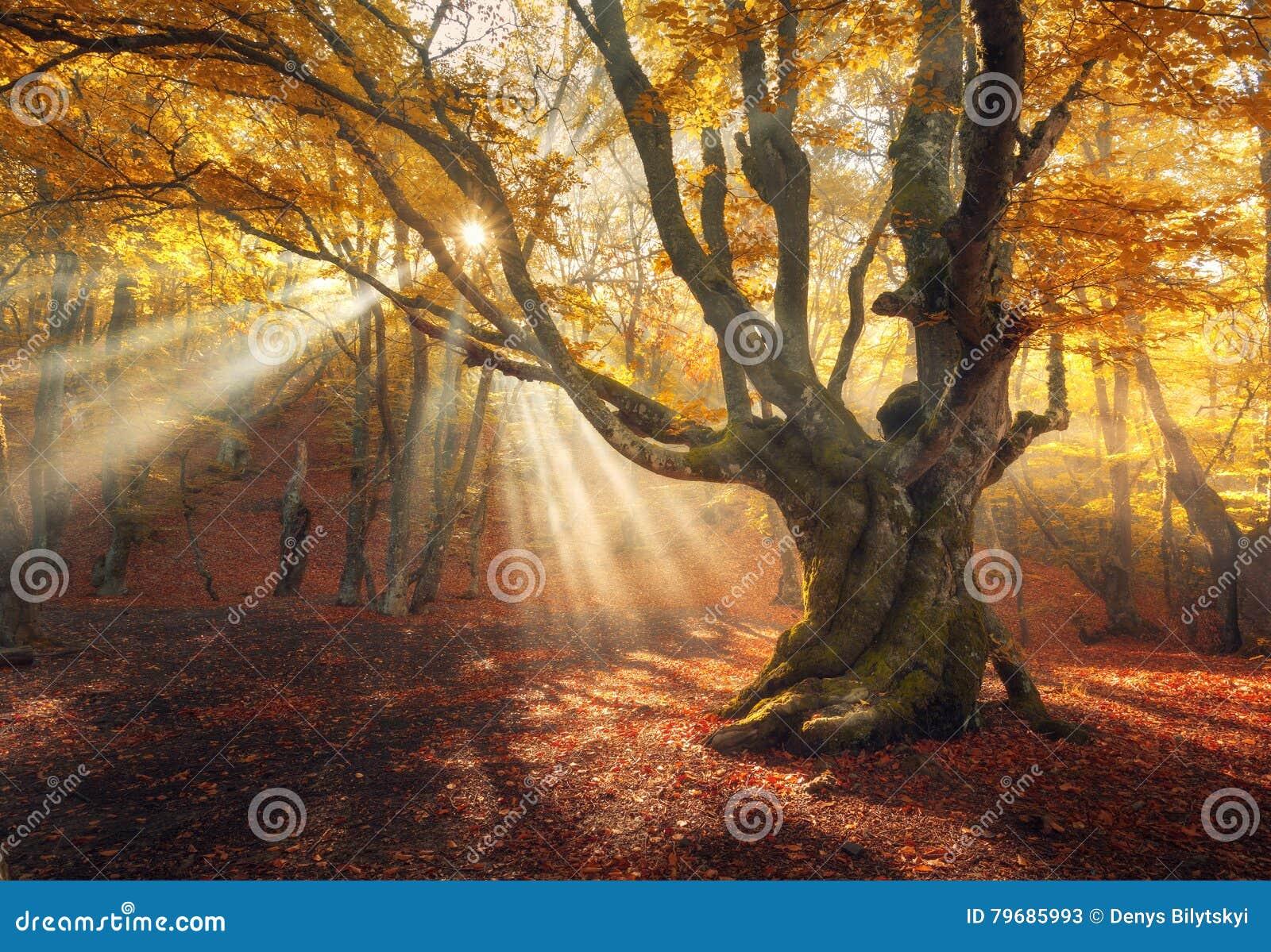 Magiskt gammalt träd Höstskog i dimma med solstrålar