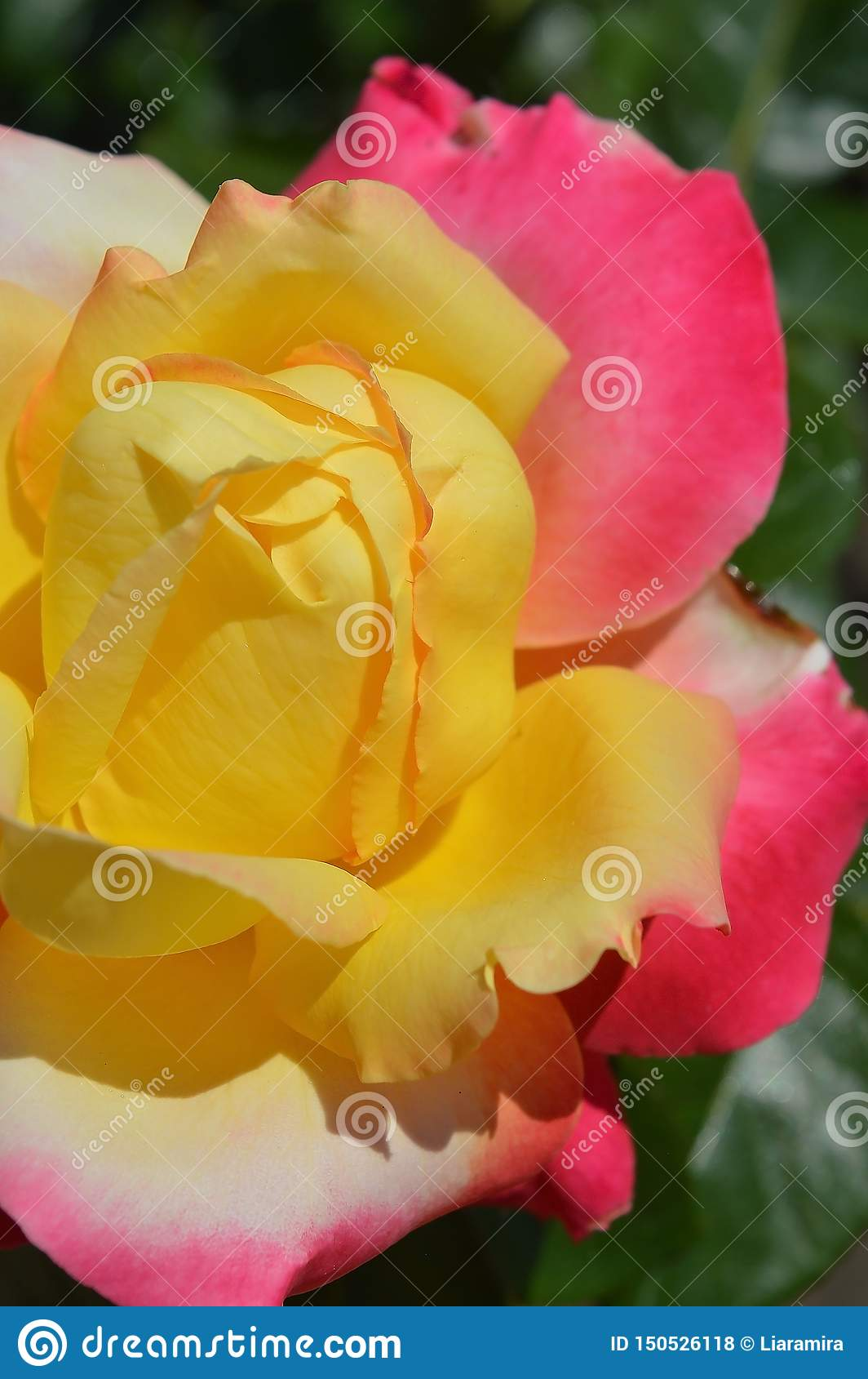 Magnífico multi-colorido aumentou Amarelo, branco e cor-de-rosa