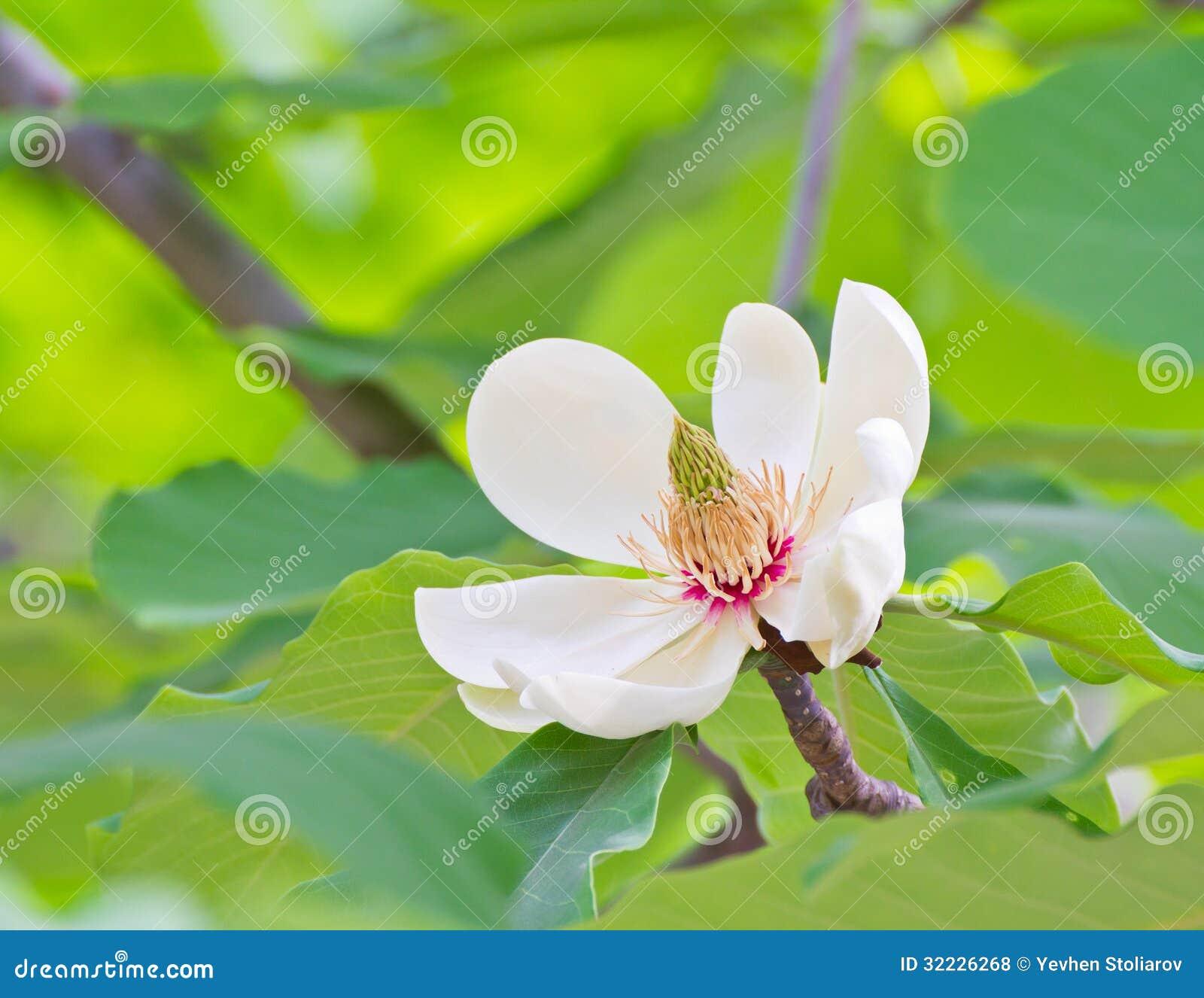 Download Magnólia na flor foto de stock. Imagem de flor, pétalas - 32226268