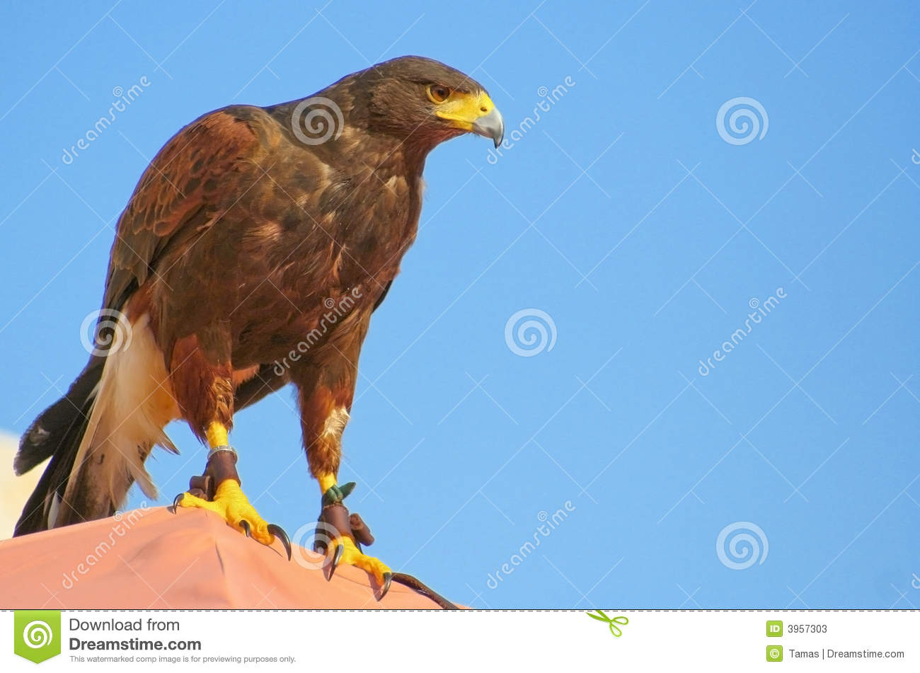 magnificent brown eagle with blue sky stock image image of beak
