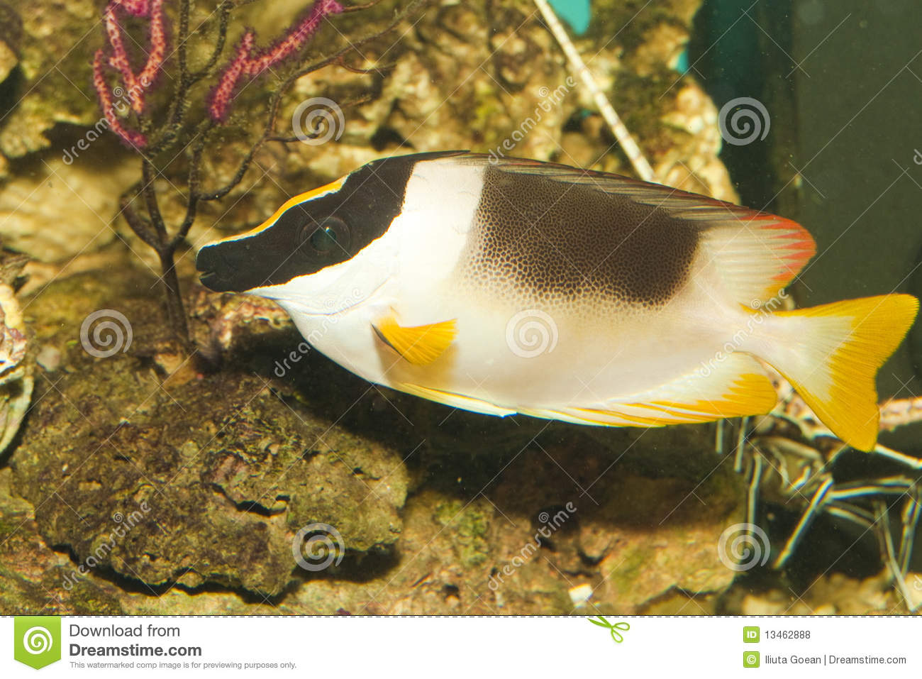 Magnificent foxface or rabbitfish in aquarium royalty free for Fox face fish
