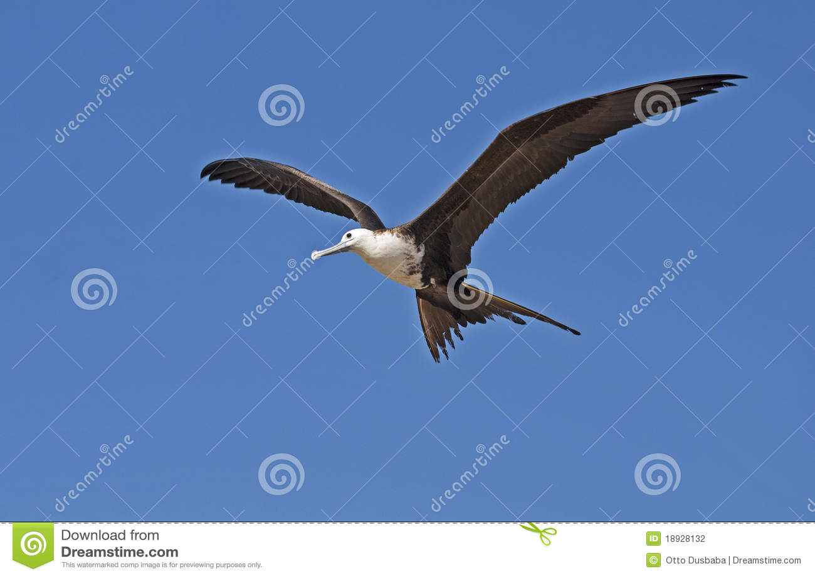 Magnificent frigate bird in the air