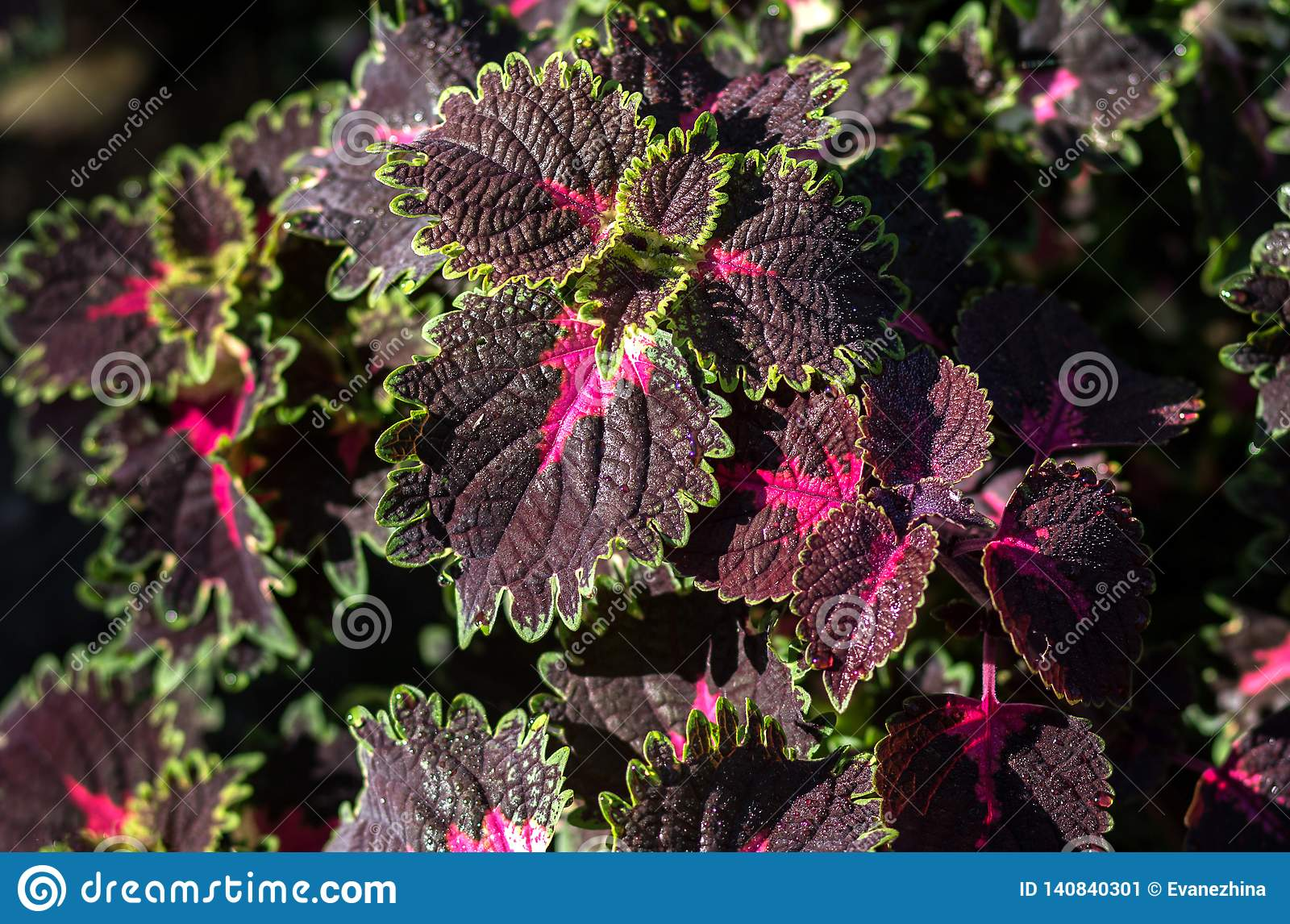 Violet and green leaves of a koleus plant, Plectranthus scutellarioides