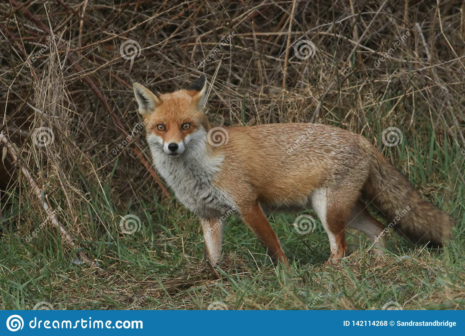 A magnificent wild Red Fox Vulpes vulpes hunting for food at the edge of shrubland.