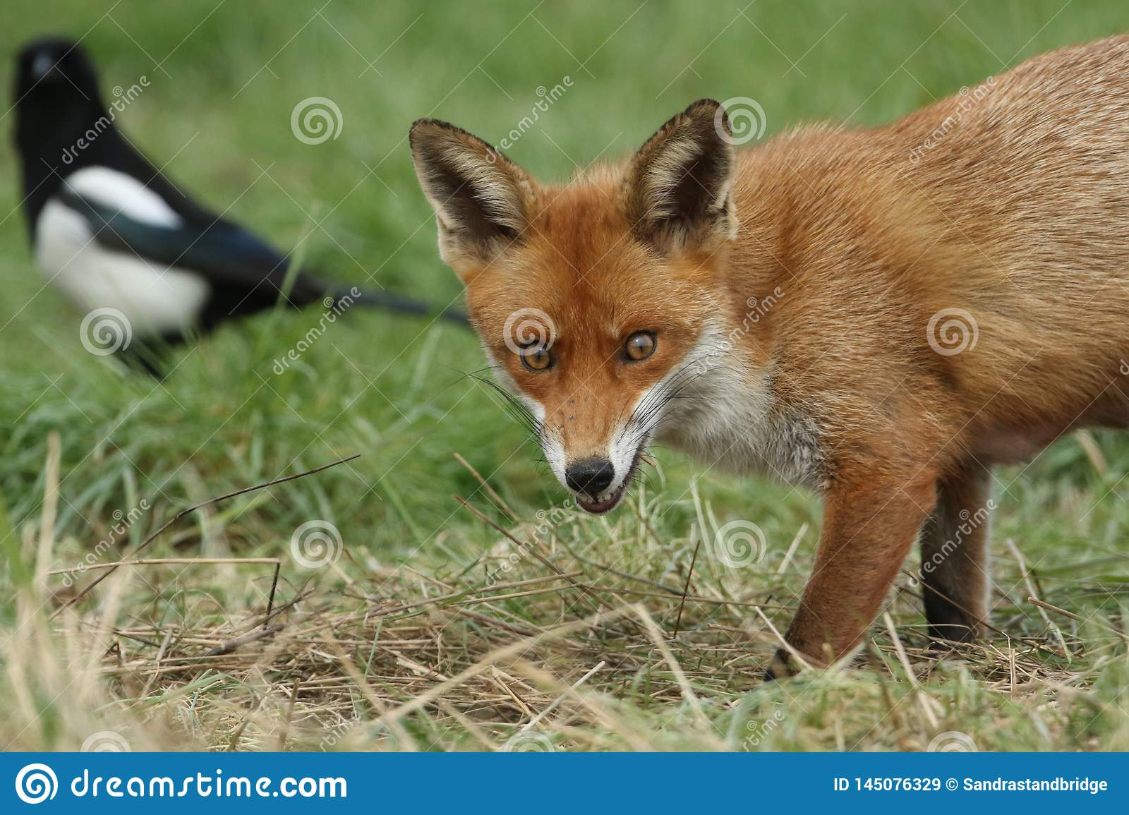 A magnificent wild Red Fox Vulpes vulpes hunting for food to eat in the long grass.