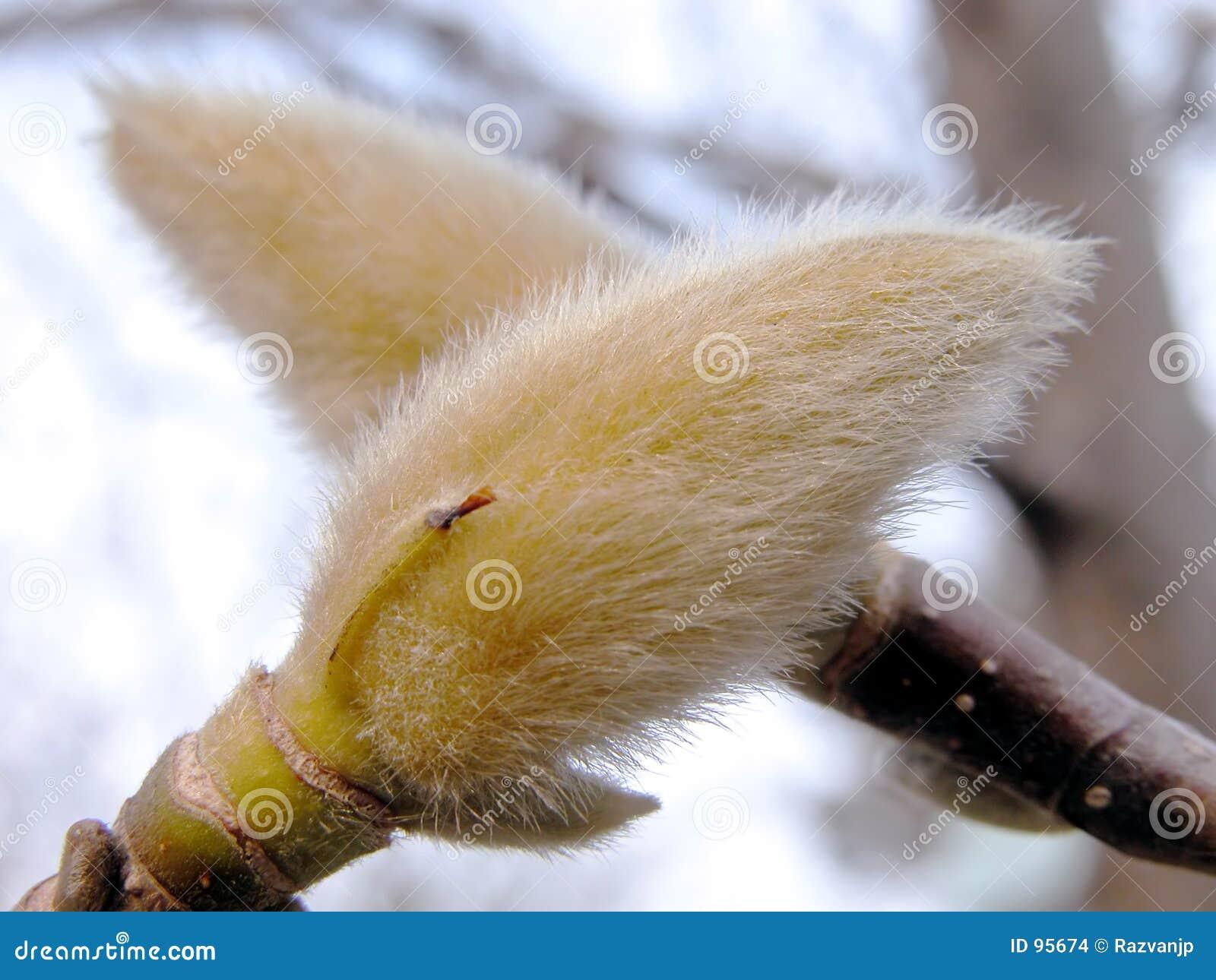 Magnolia οφθαλμών