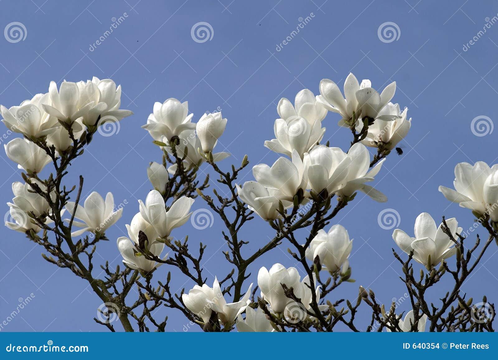 Download Magnolia цветения стоковое фото. изображение насчитывающей magnolia - 640354