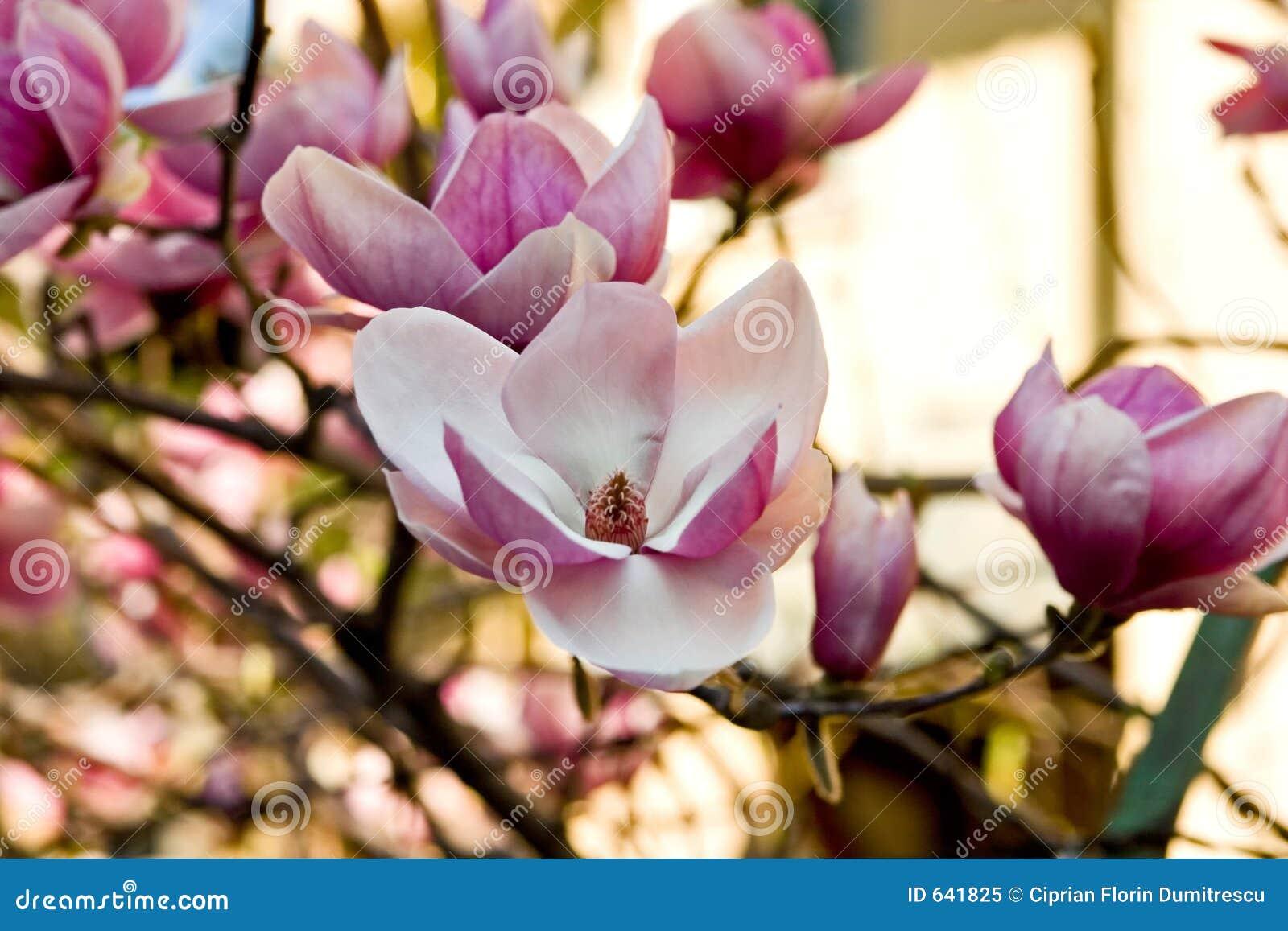 Download Magnolia цветеня стоковое изображение. изображение насчитывающей daytime - 641825