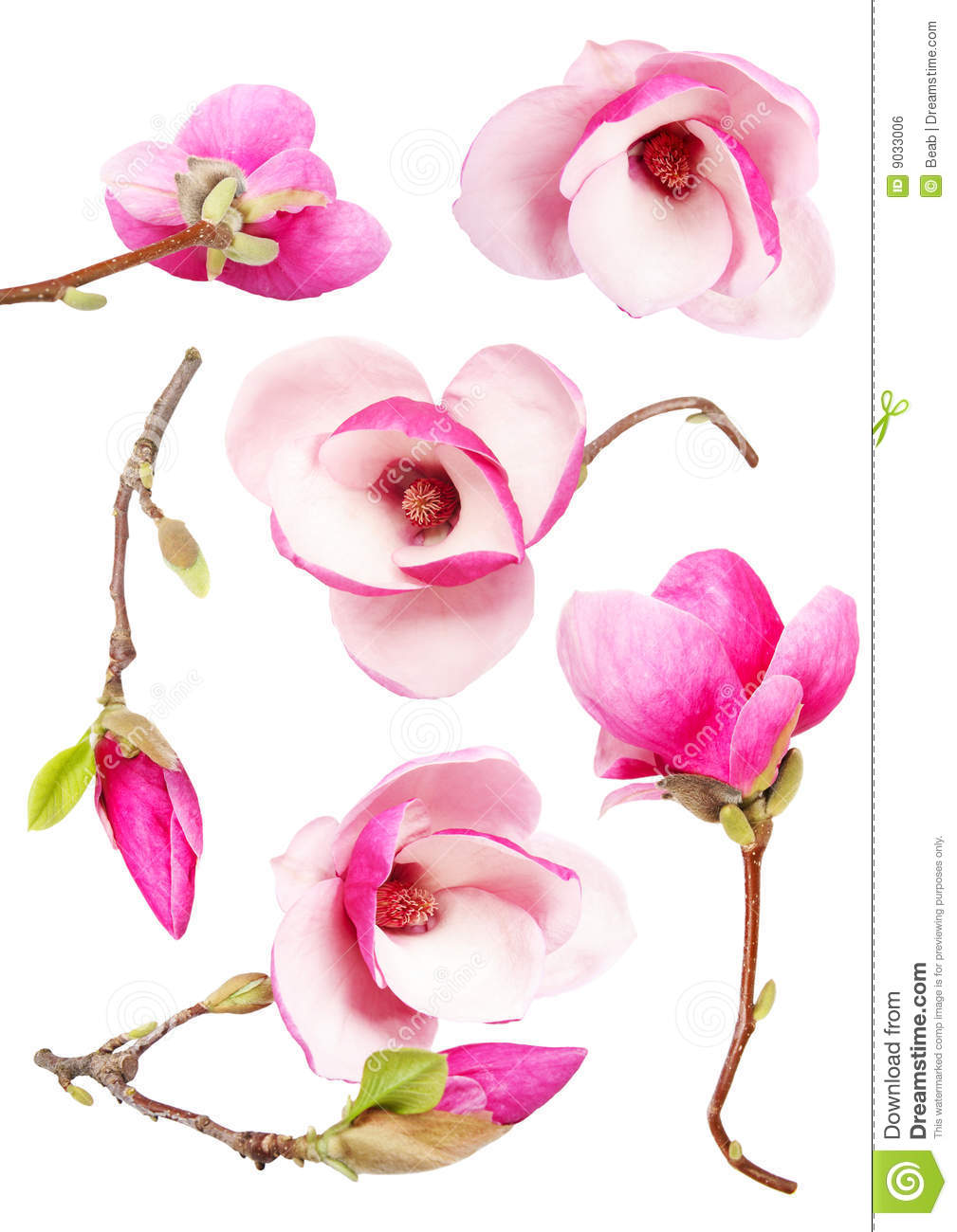 Download Magnolia stock photo. Image of closeup, background, isolated - 9033006