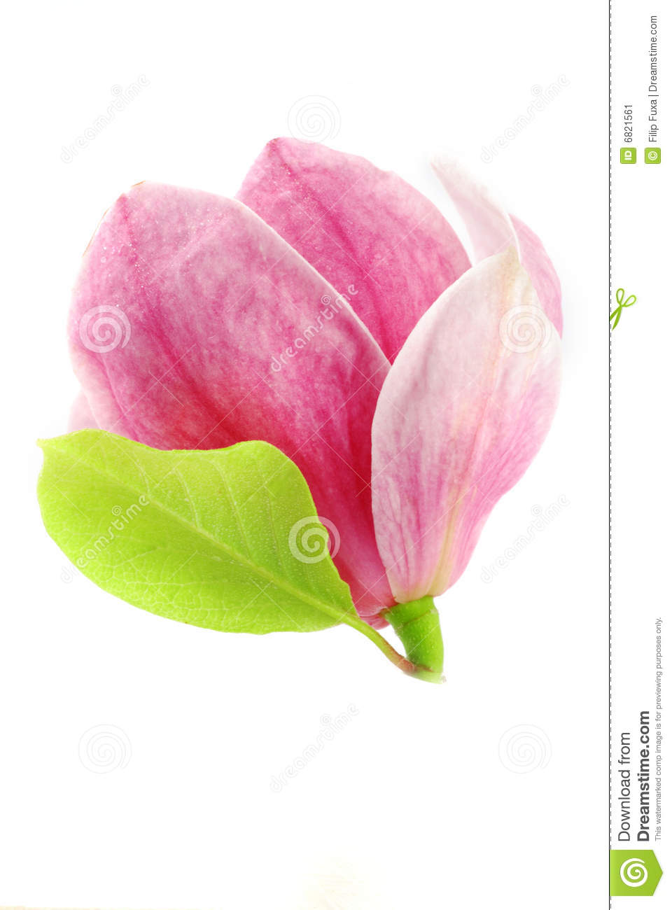 Magnolia Bloom Stock Image Image Of Detail Floral Garden 6821561