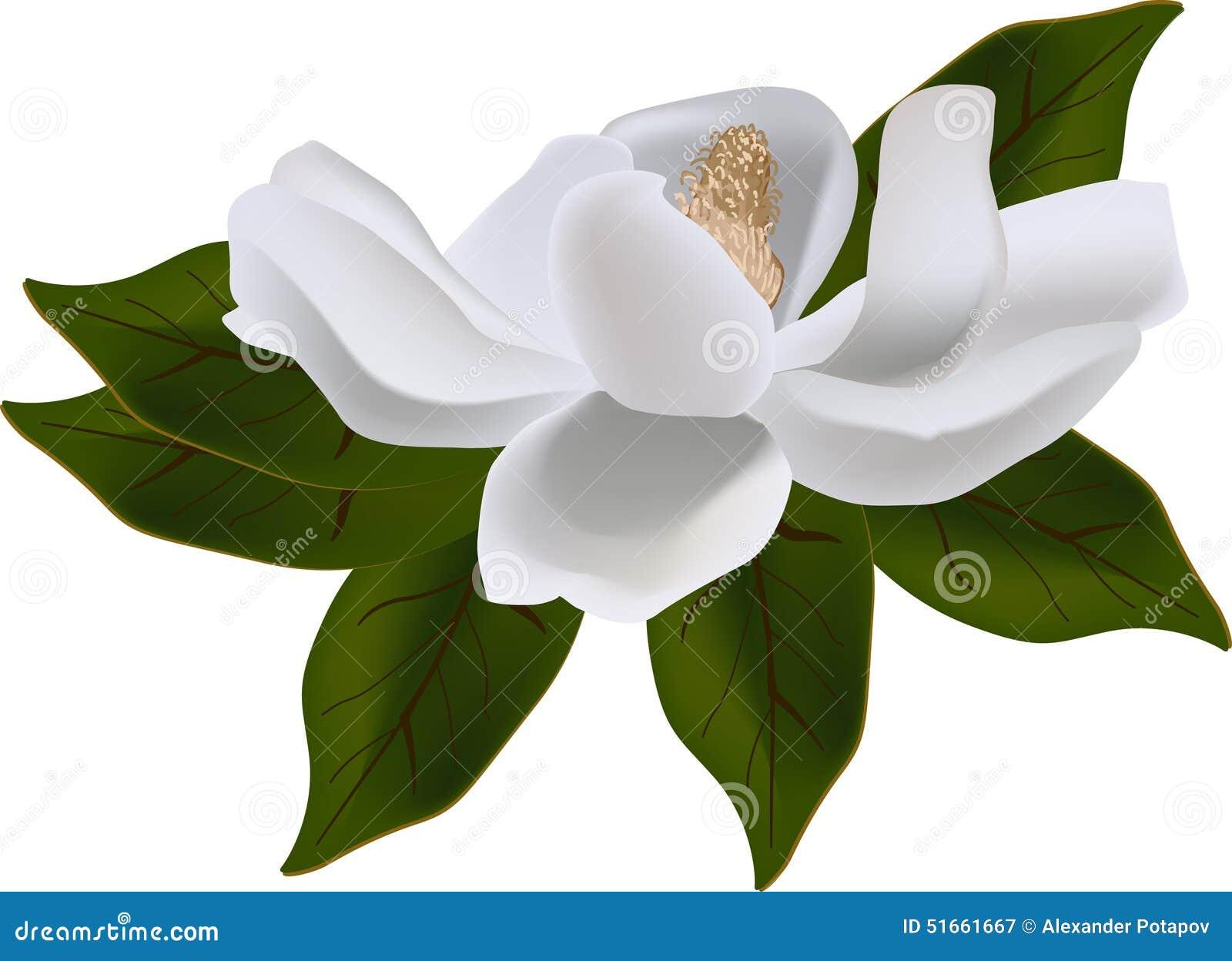 magnolia blossom clip art - photo #37
