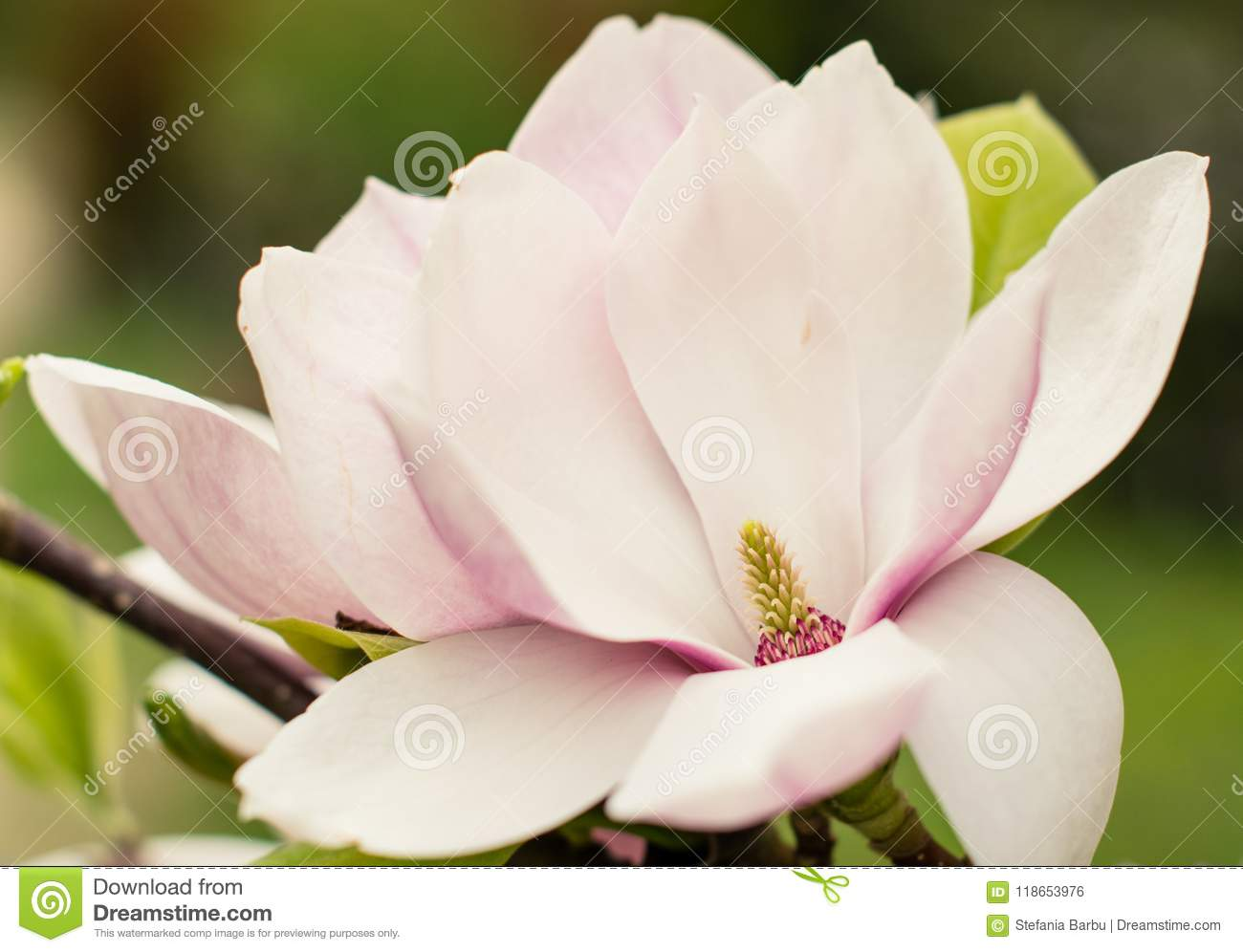 Magnolia Blossoms Flowers In Spring Romania Stock Photo Image Of