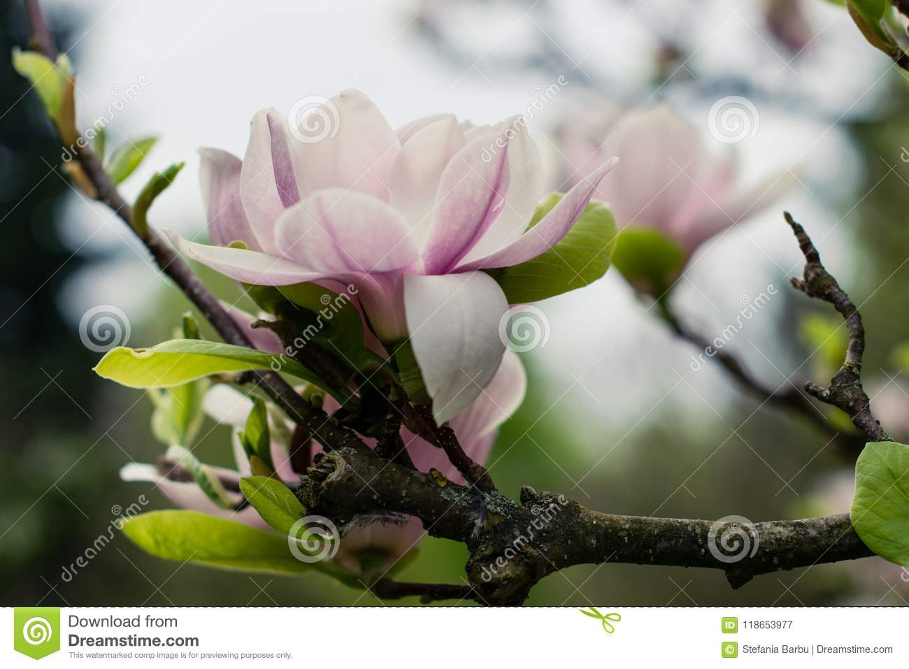Magnolia Blossoms Flowers In Spring Romania Stock Image Image Of