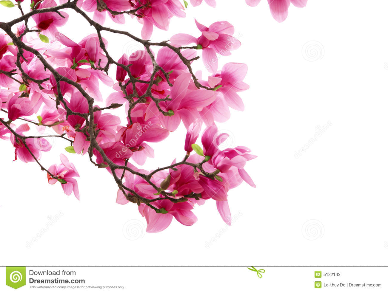 Download Magnolia clusters stock image. Image of flora, beautiful - 5122143