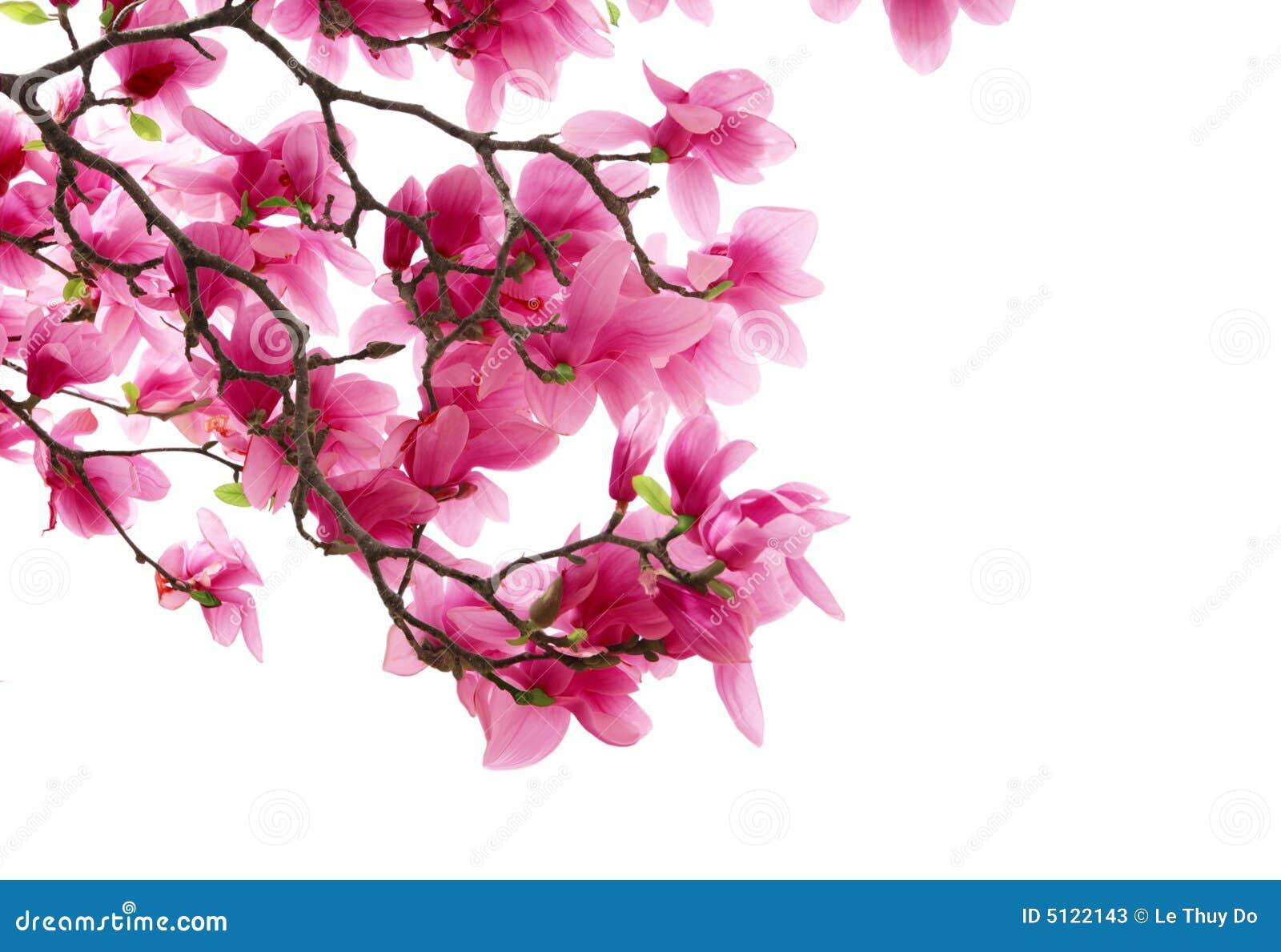 Magnolia clusters