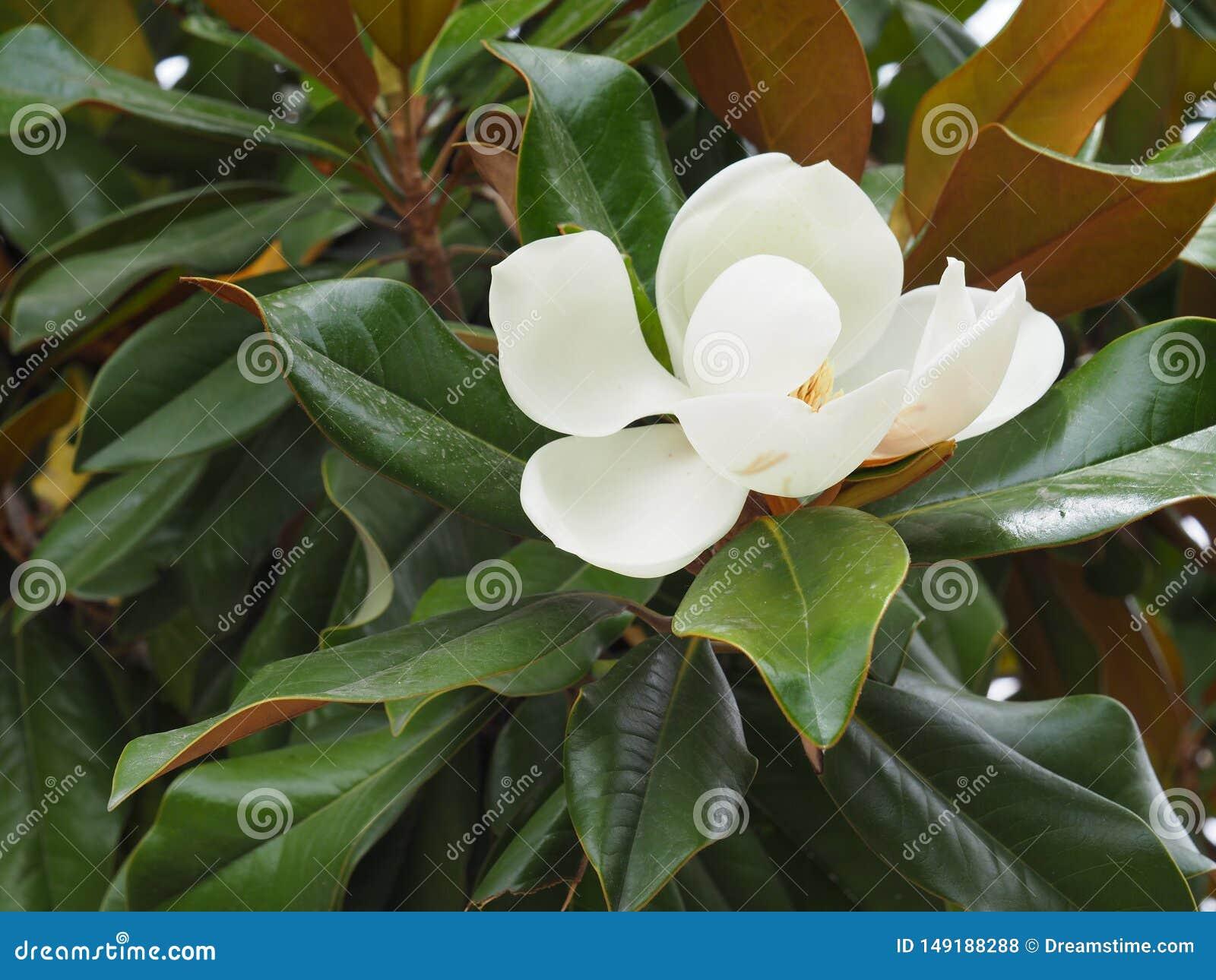 Magnolia de floresc?ncia