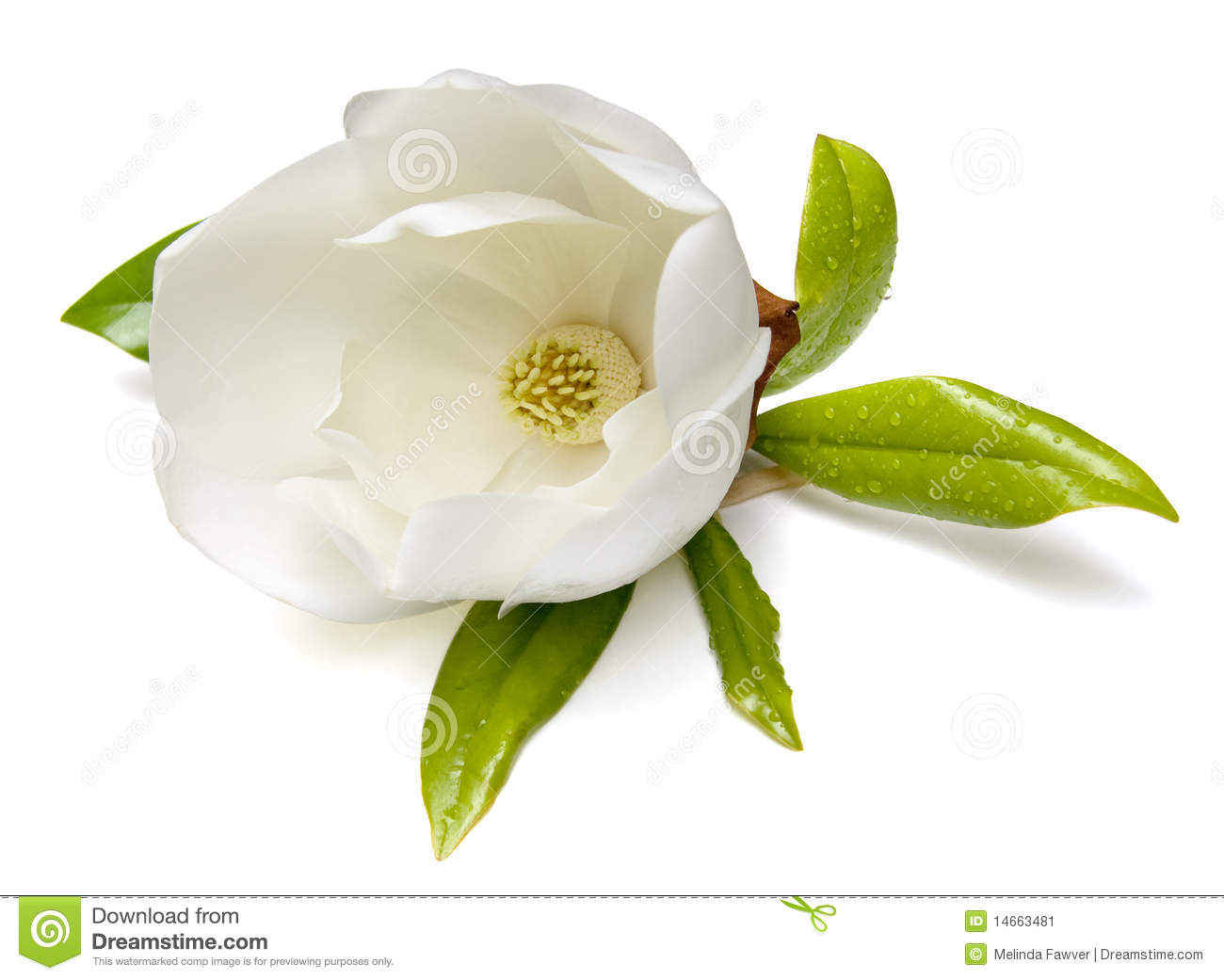 Southern Magnolia (Magnolia grandiflora) flower isolated on white ...