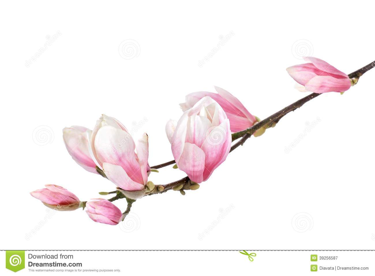 Magnolia Flower Branch Stock Photo - Image: 39256587