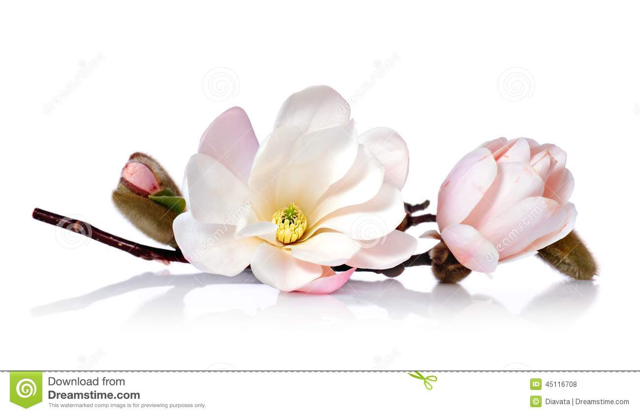 Magnolia Flower Stock Photo Image Of Magnolia Branch 45116708