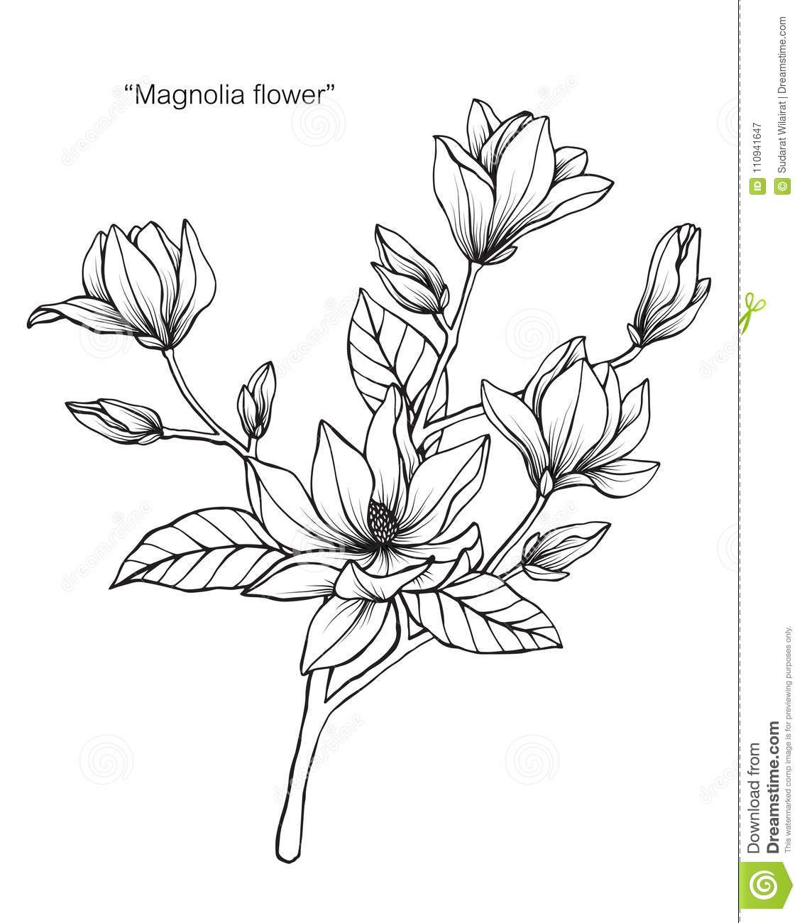 Magnolia Flower Line Drawing : Magnolia flower drawing illustration black and white with