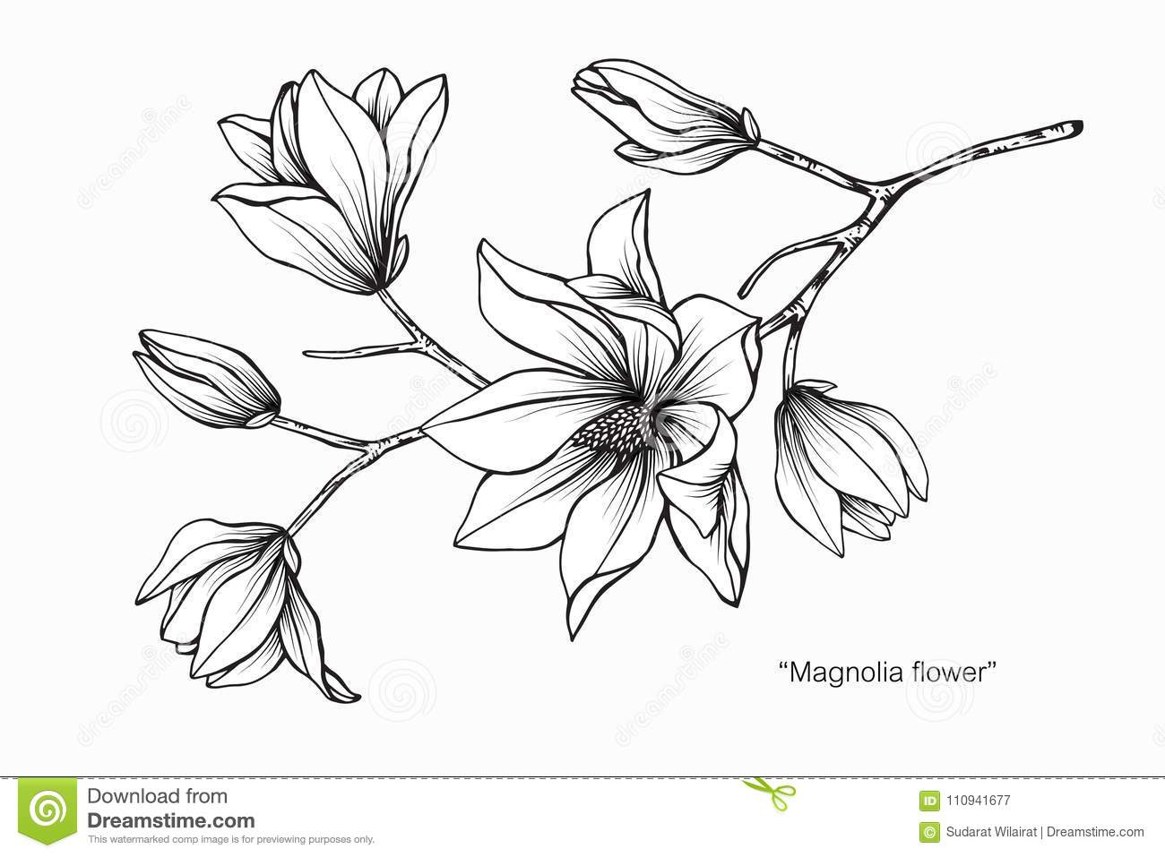 Magnolia flower drawing illustration black and white with line art on white backgrounds
