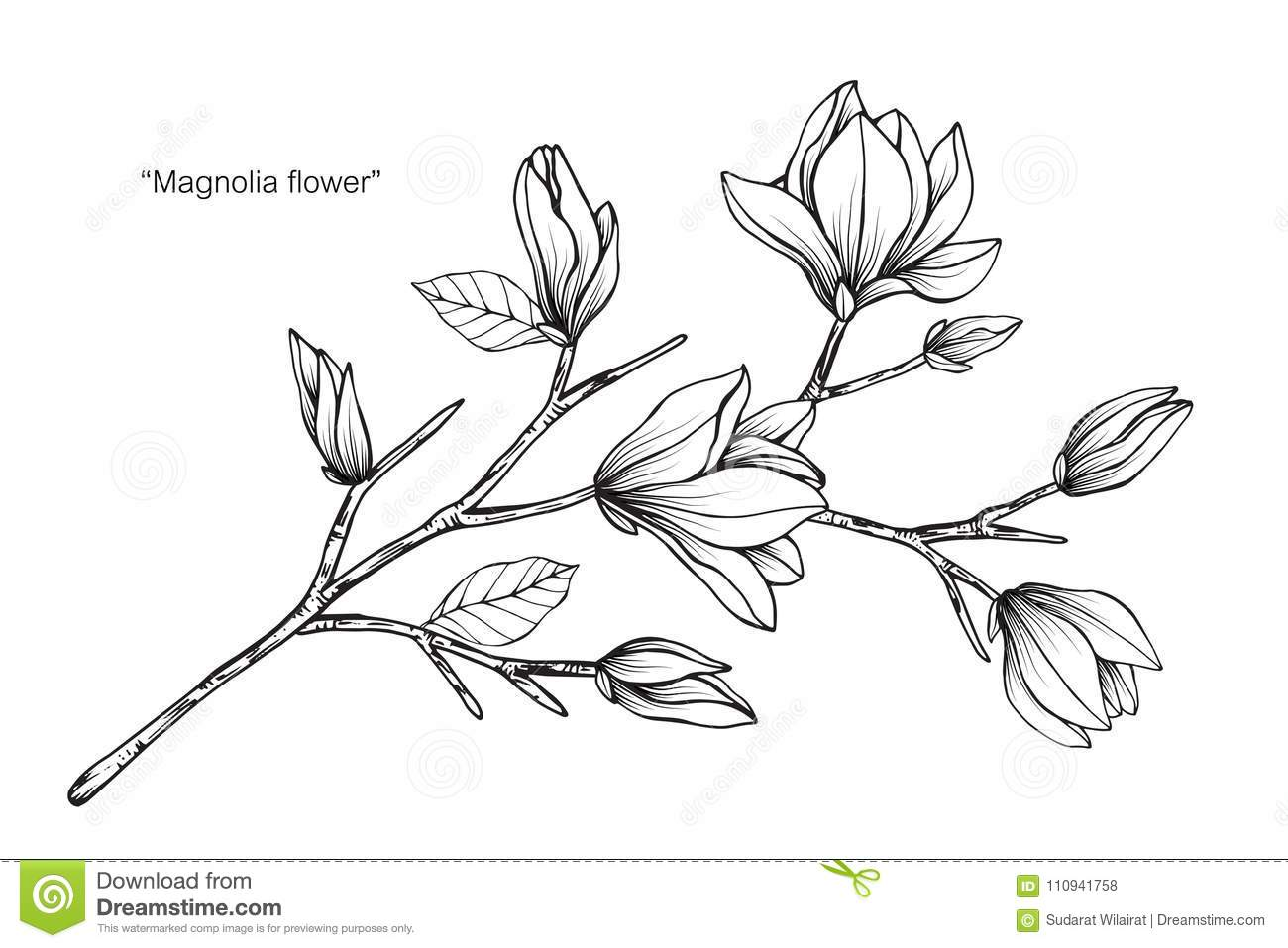 Magnolia Flower Drawing Illustration Black And White With Line Art