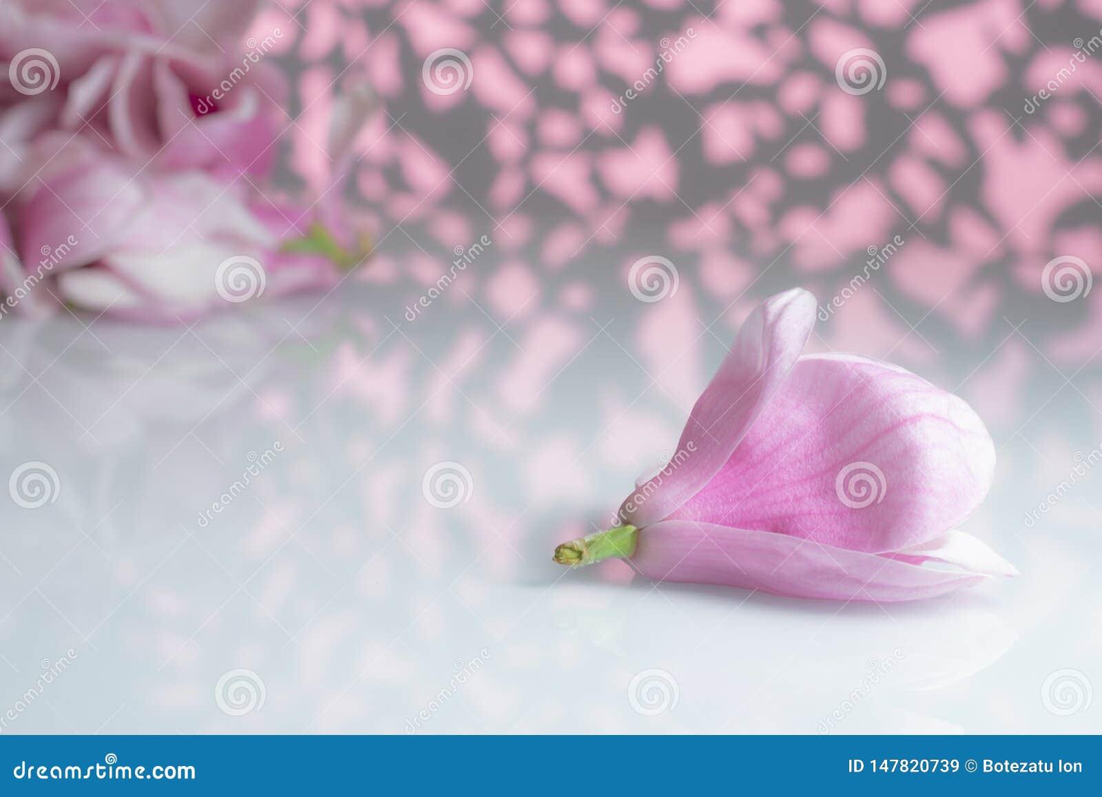 Magnolia flower on a white board