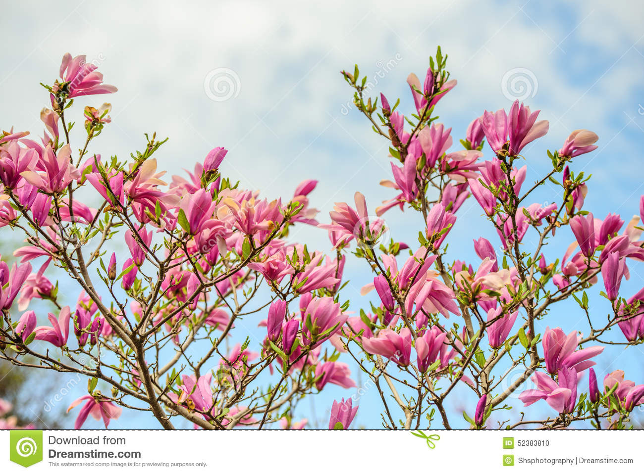 magnolia flowers on a tree against the sky royalty free magnolia clip art free magnolia wreath clipart