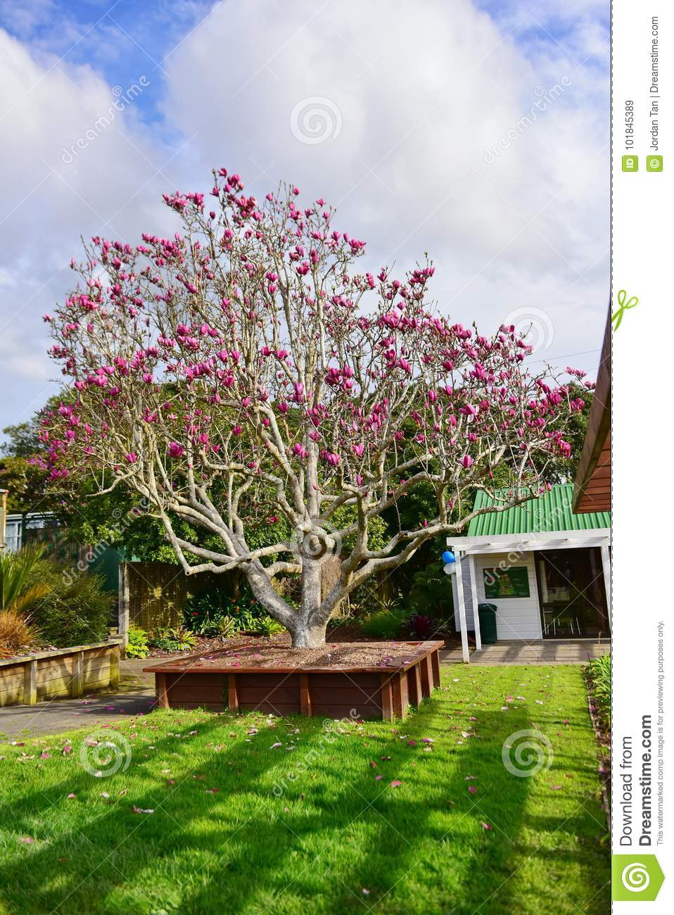 Magnolia Flowers Blooming In Late Winter In Botanic Gardens Stock