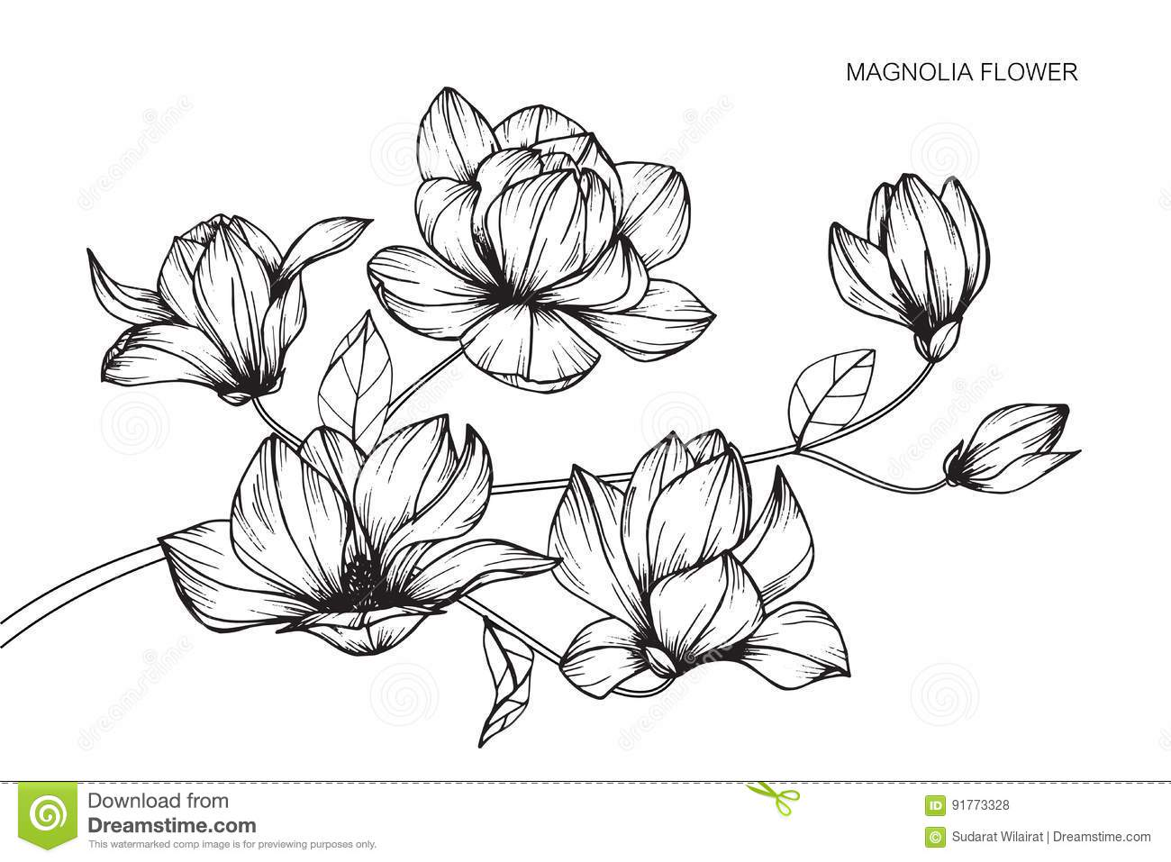 Magnolia Flowers Drawing And Sketch With Line Art Stock Illustration