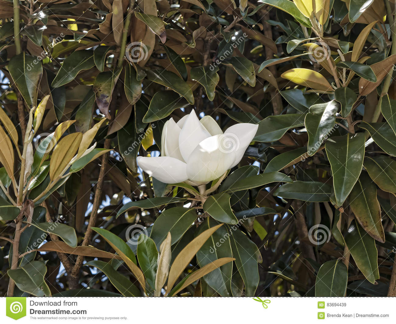 Magnolia Flowers In The Garden At Monticellos Home In Richmend