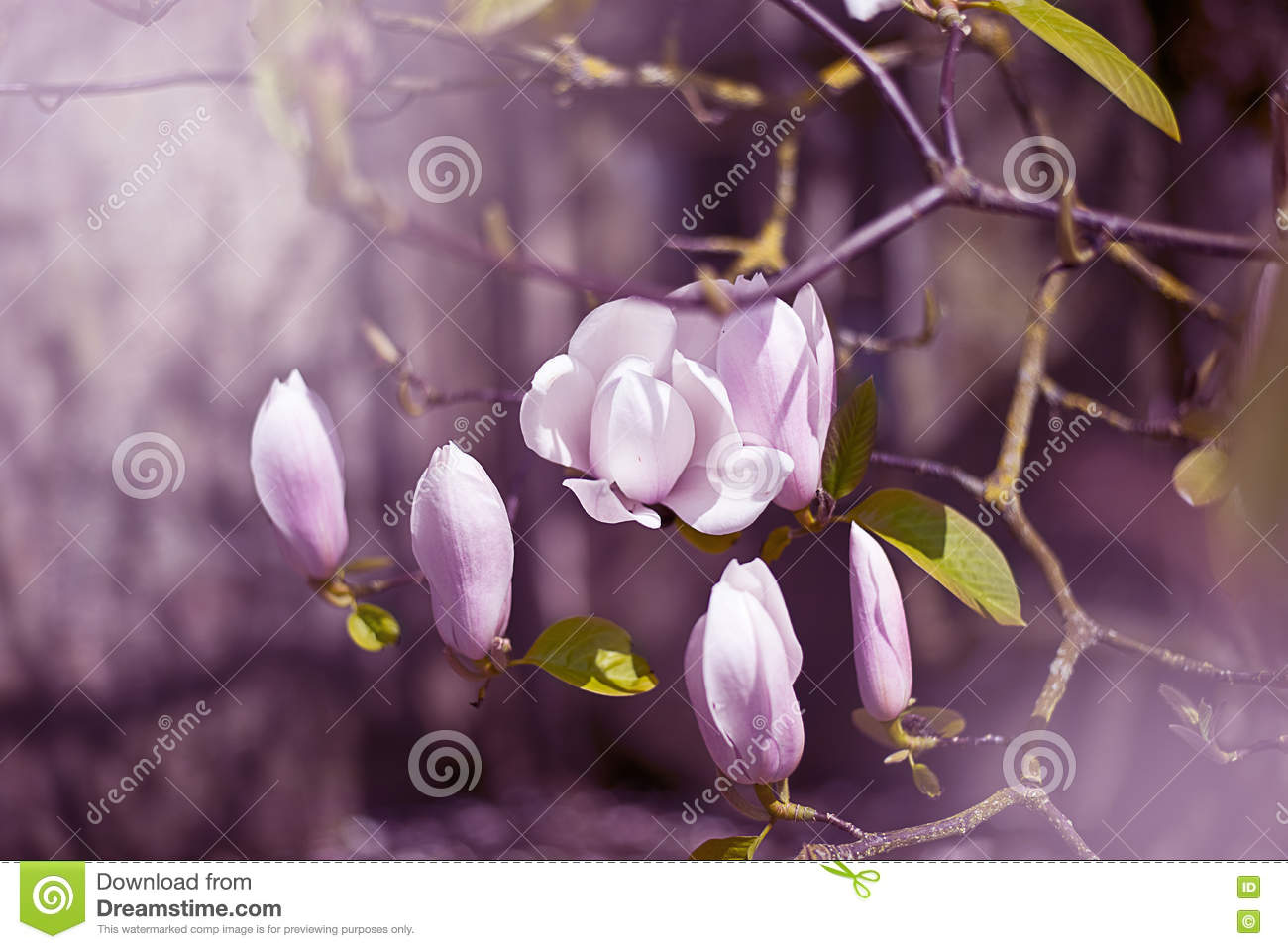 Magnolia Flowers In Pink Stock Image Image Of Spring 71617743