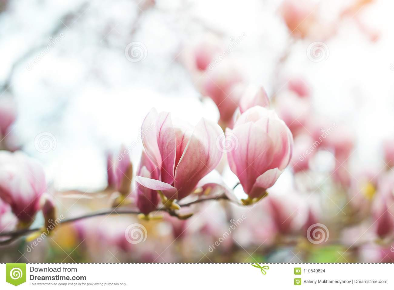 Magnolia flowers in spring time, floral background