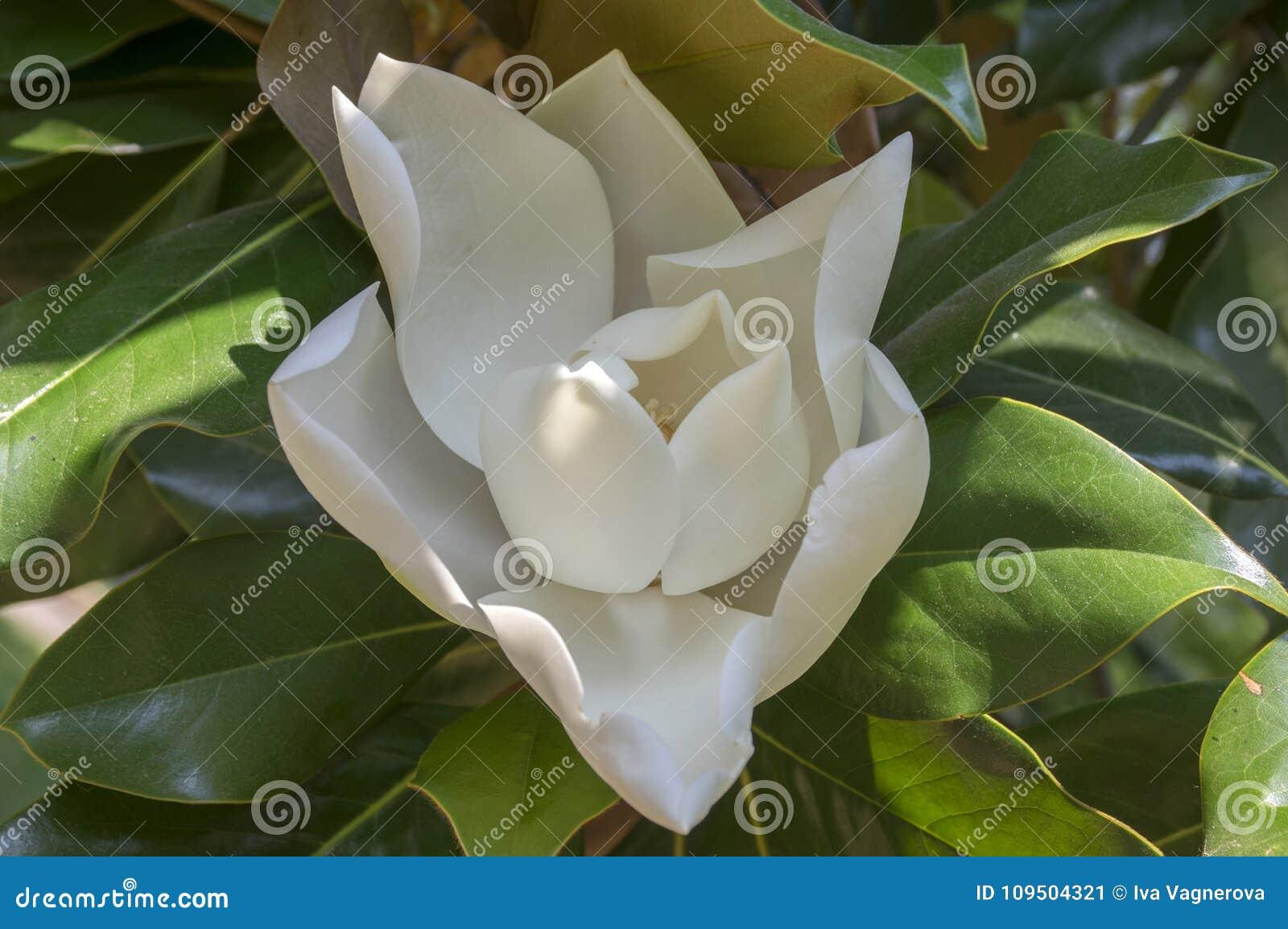 Magnolia Grandiflora White Amazing Tree Flower In Bloom Stock Image