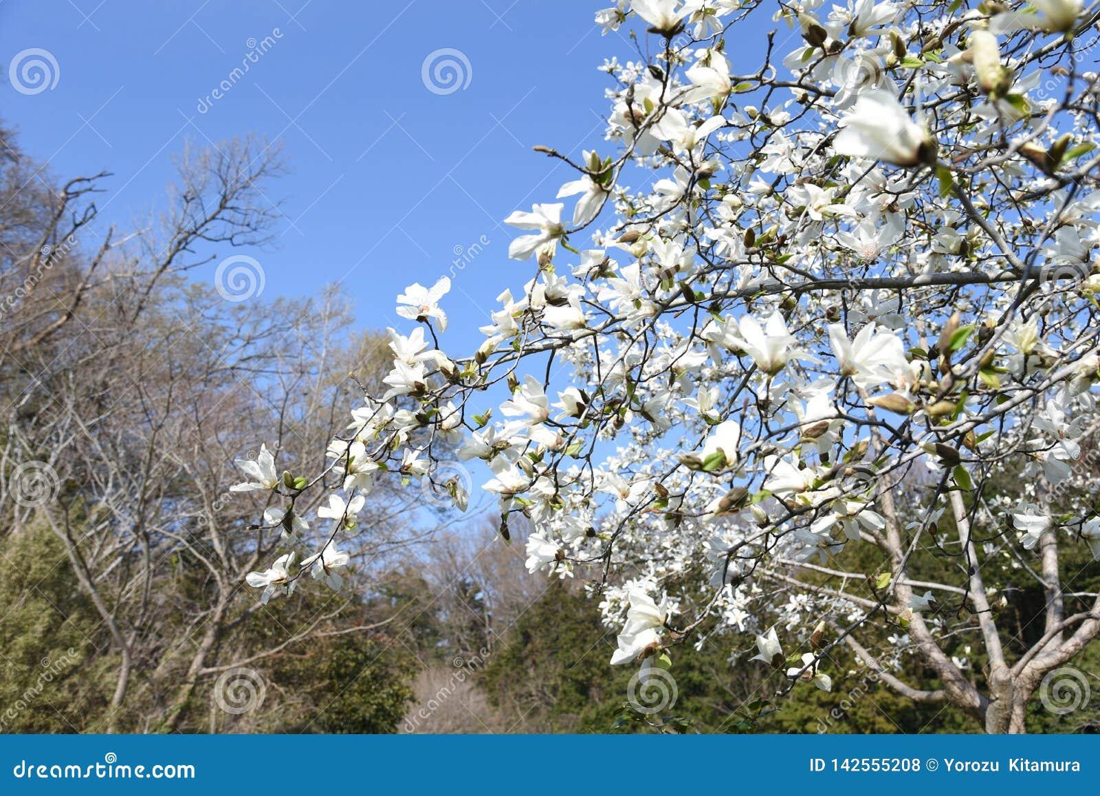 Magnolia kobus blossoms
