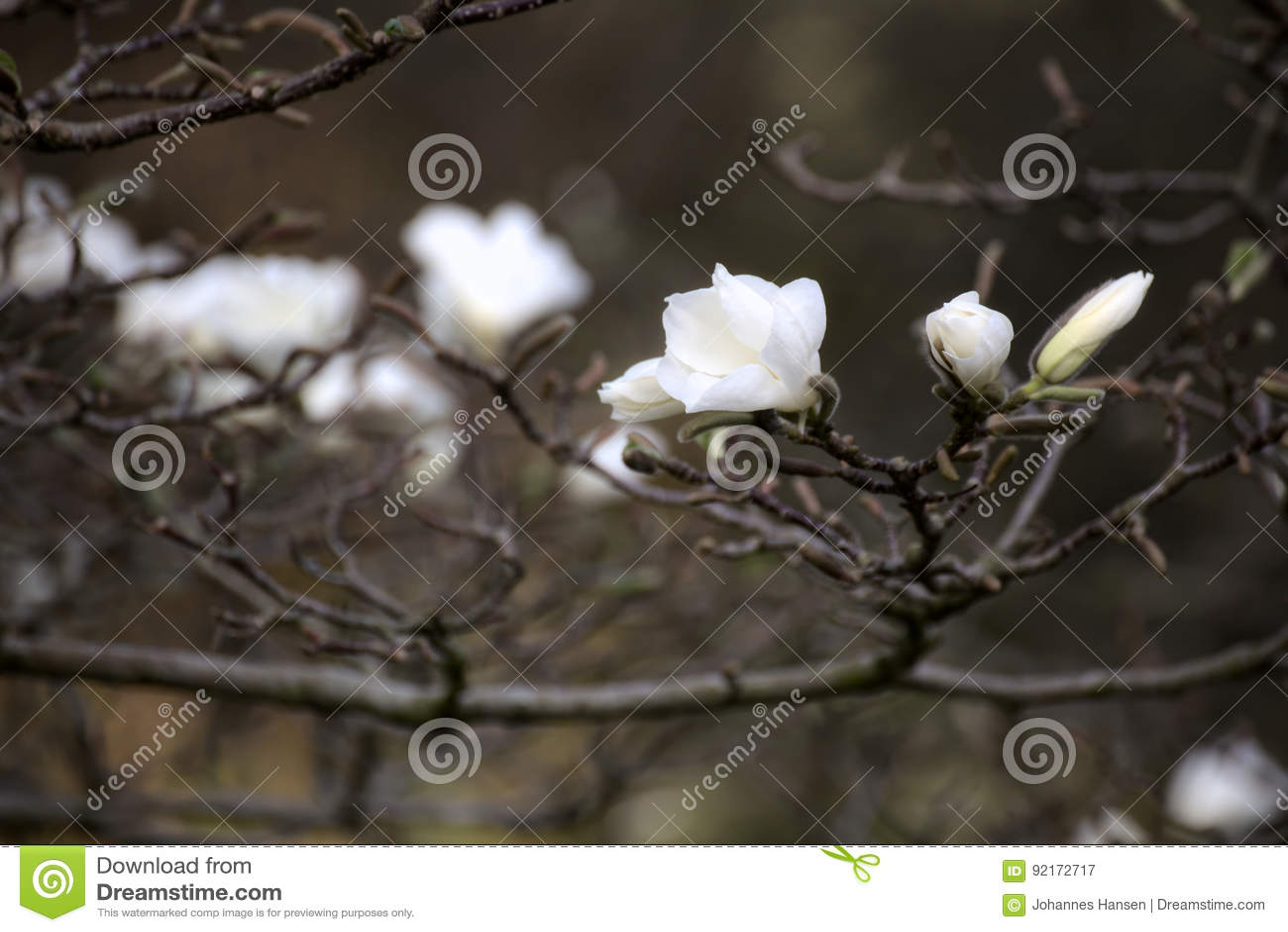 Magnolia kobus, known as mokryeon, with white blossoms