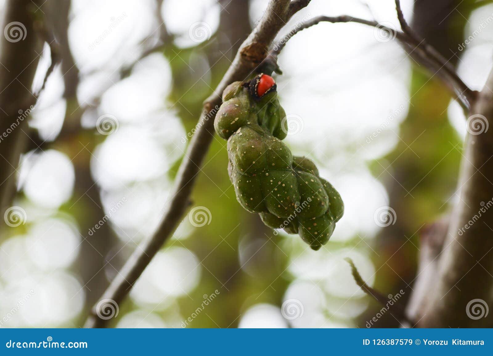 Nuts of magnolia kobus
