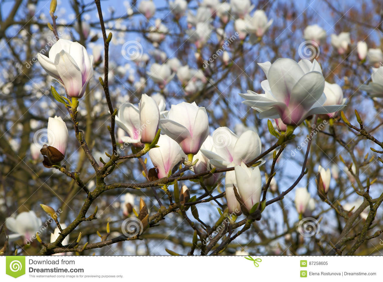Magnolia Leonard Messel White Flower And Bud Opening On A Tree