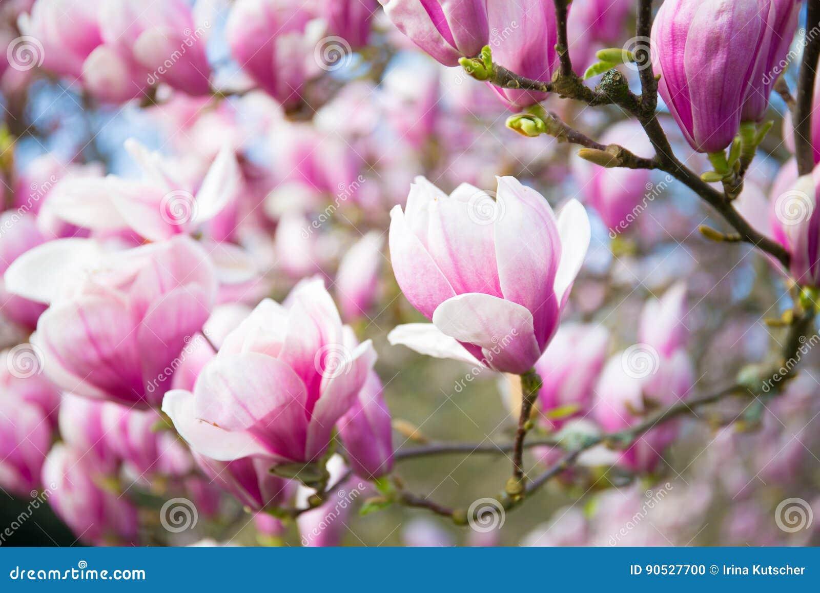 Magnolia, molla, fondo