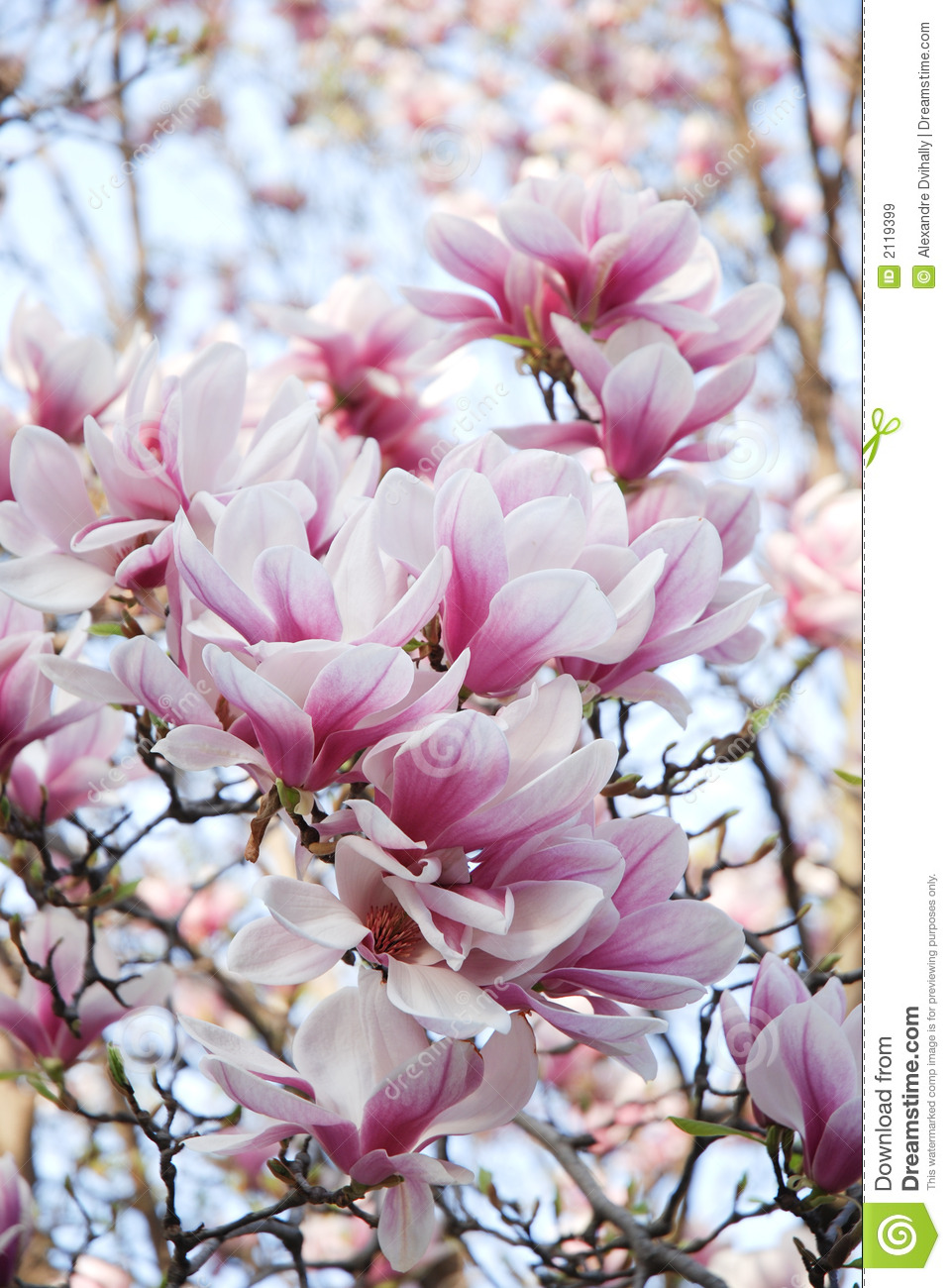 Magnolia pink flowers stock image image of sunlight branches 2119399 download comp mightylinksfo