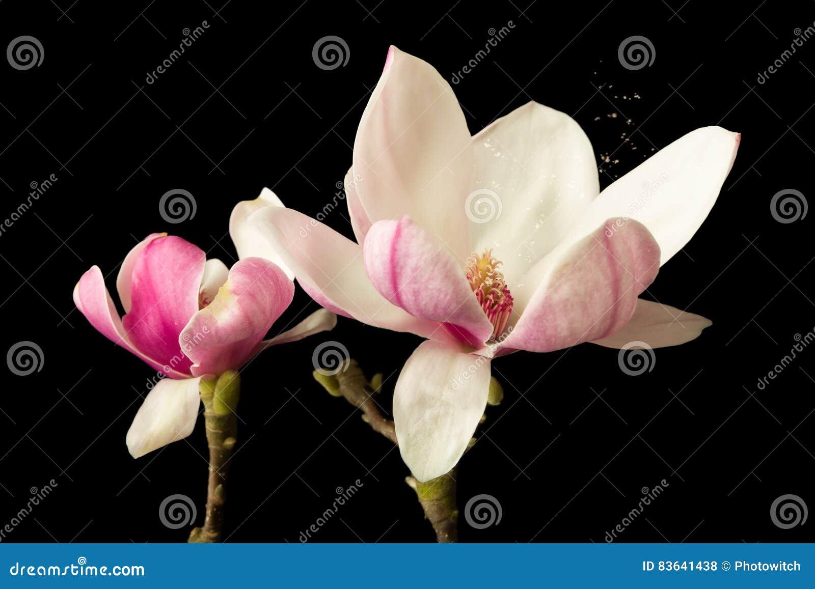 Magnolia pollen causing hay fever